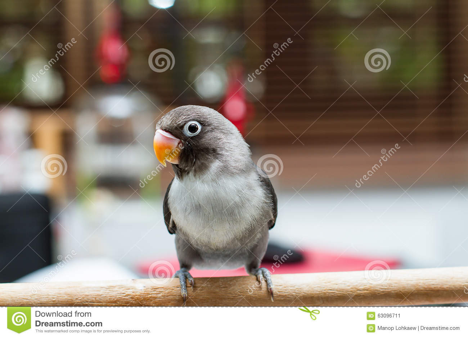 Dziecka lovebird pozycja na żerdzi na zamazanym tle w