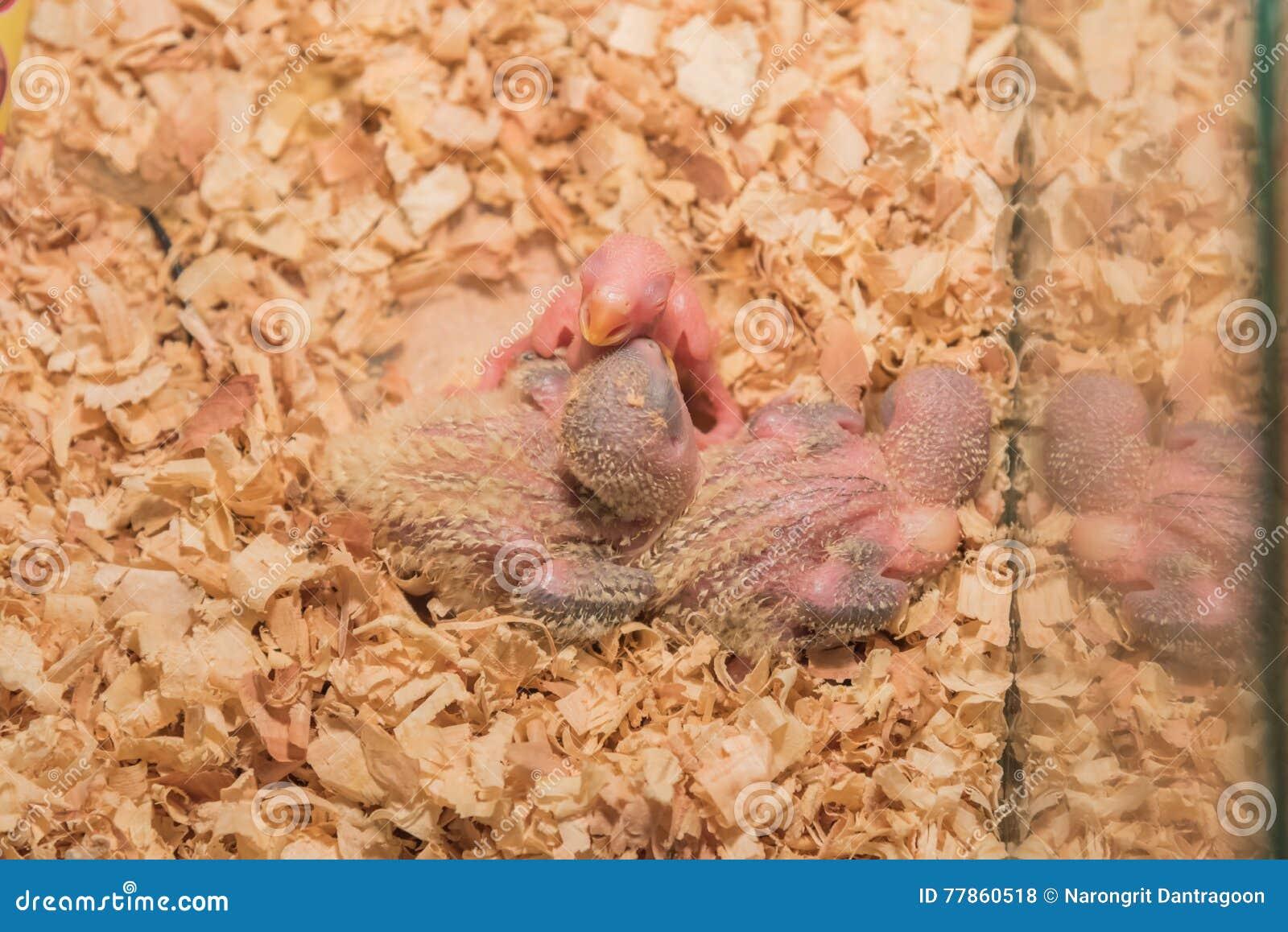 Dziecka lovebird w gniazdeczku