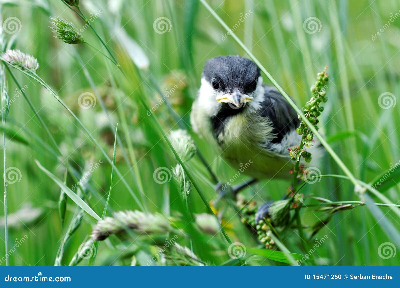Dziecka ptaka wielki tit