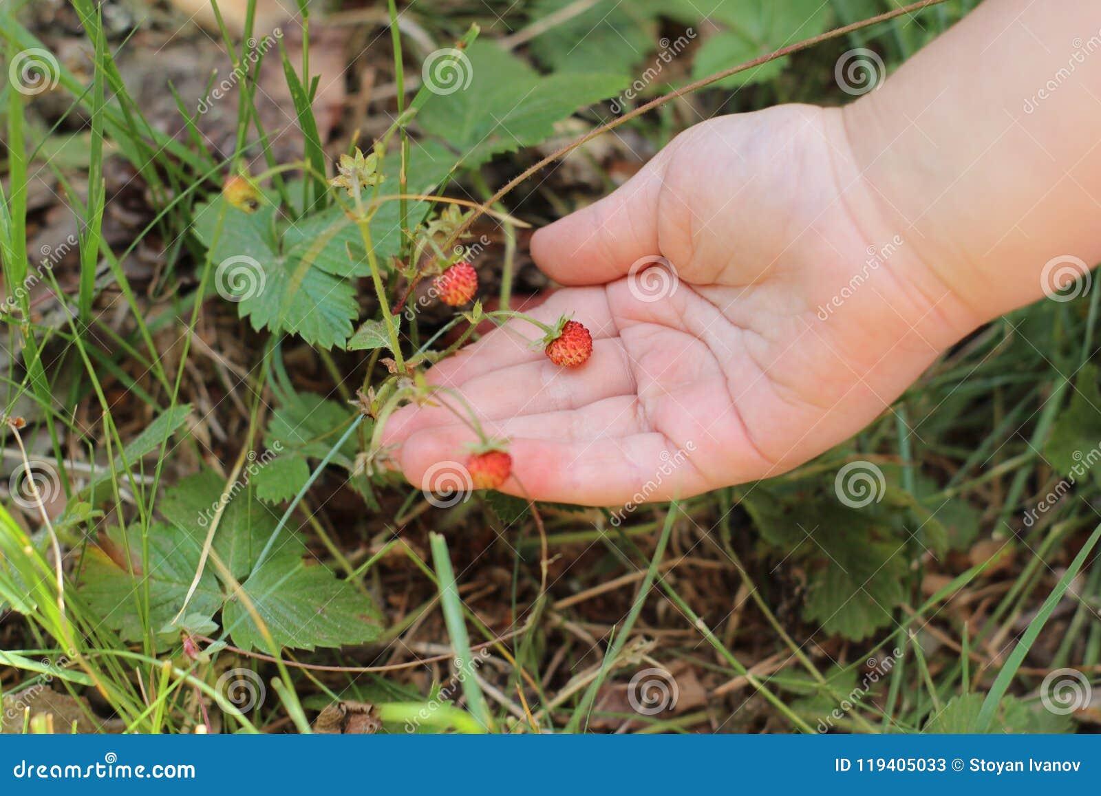 Dziecka ` s ręka trzyma dzikie truskawki