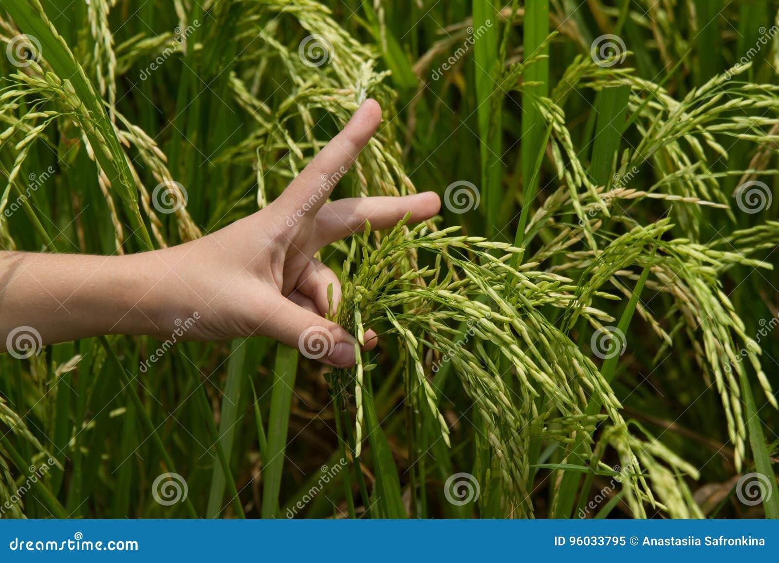 Dziecka ` s ręka trzyma ryżowych ucho