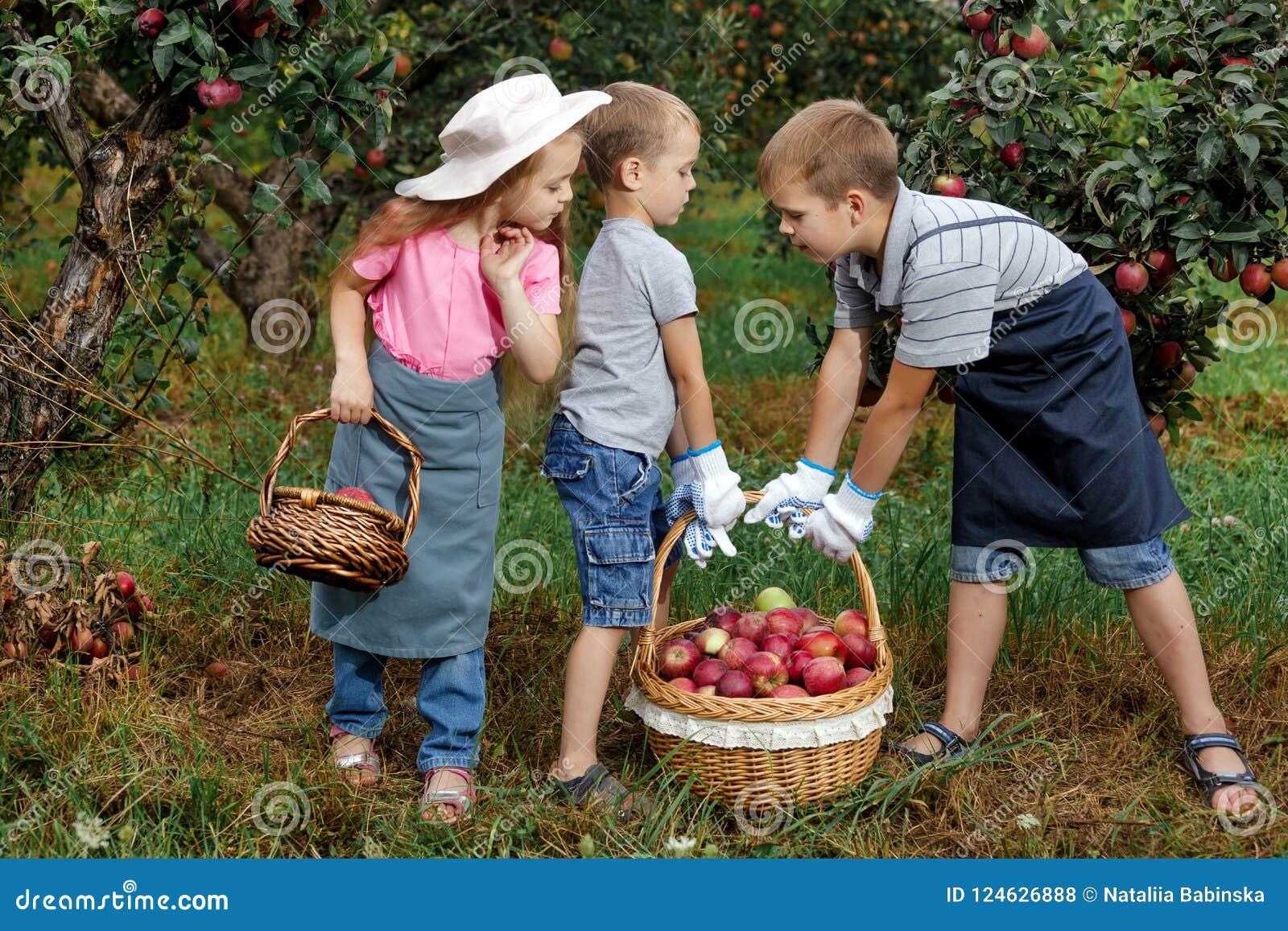Dziecko dziewczyny chłopiec brata siostry jabłka pomocy fartucha ogrodowe duże koszykowe rękawiczki wpólnie pracują gromadzenie s