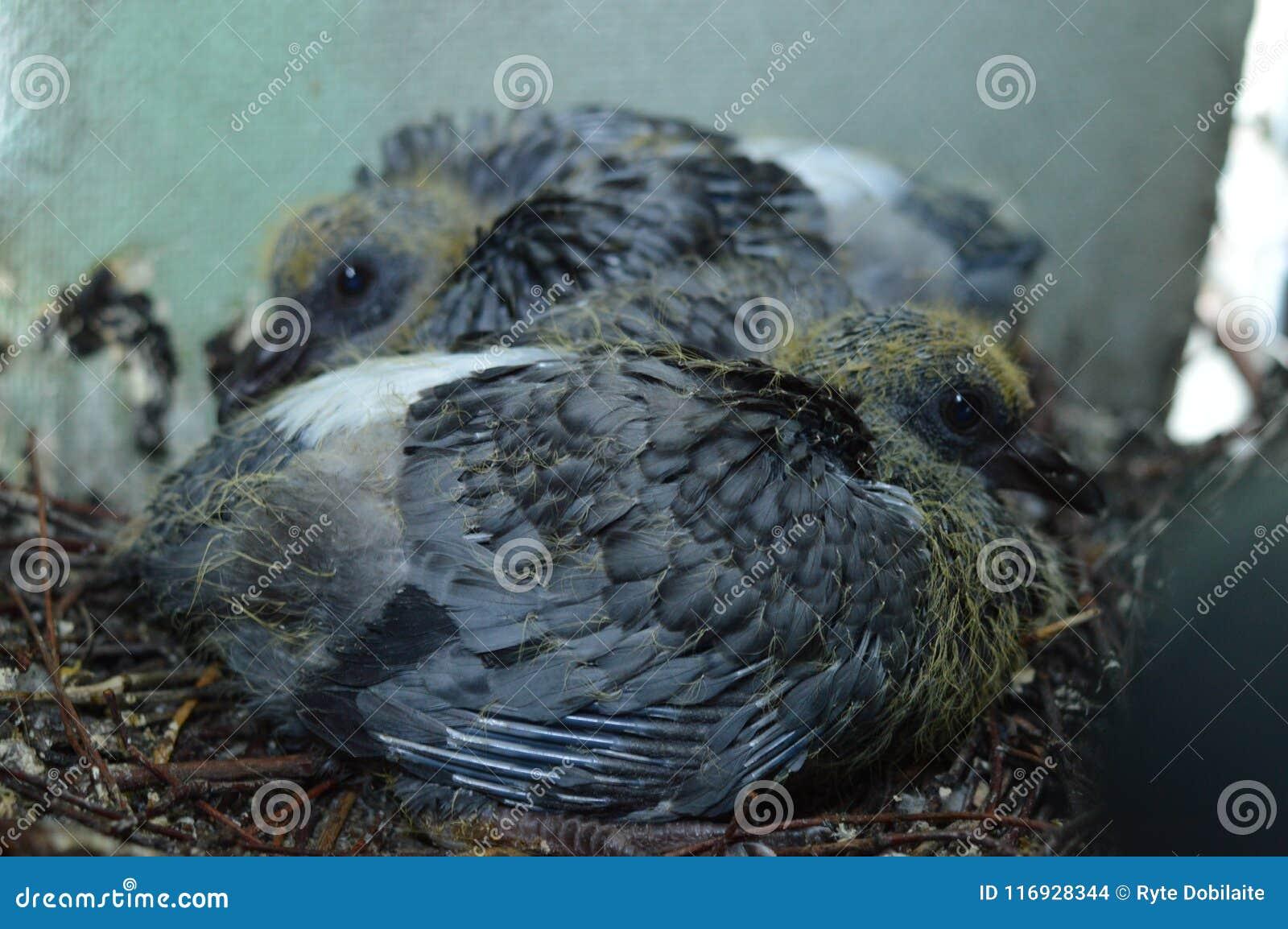 Dziecko gołębie