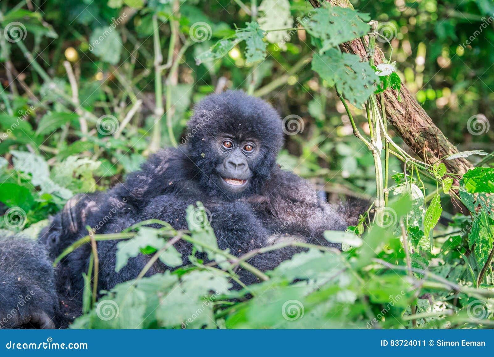 Dziecko Halnego goryla obsiadanie w liściach