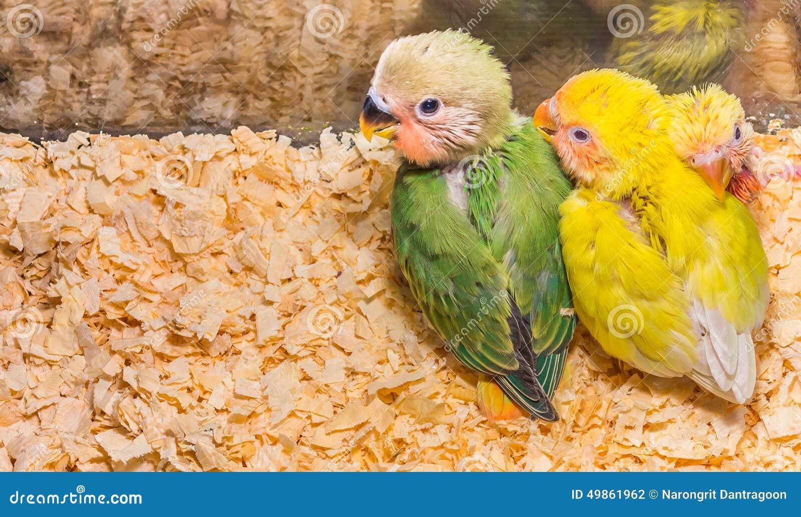 Dziecko koloru żółtego lovebird