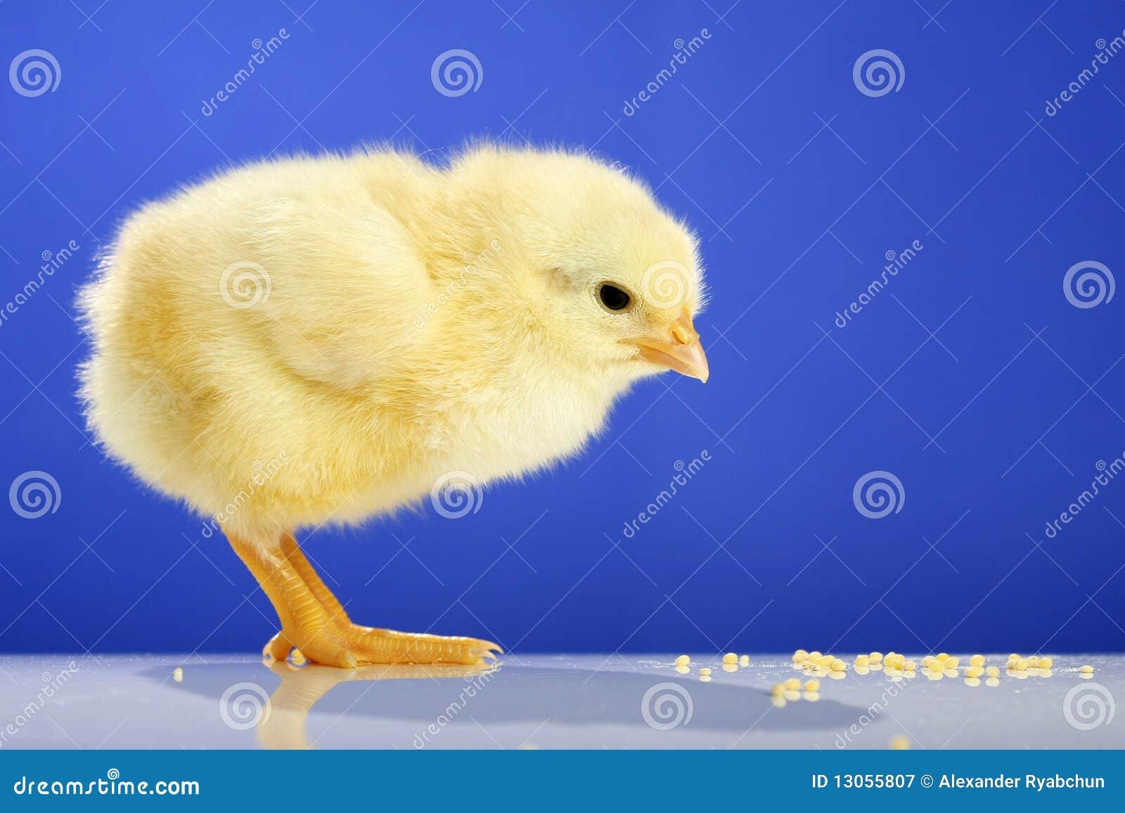 Dziecko kurczak