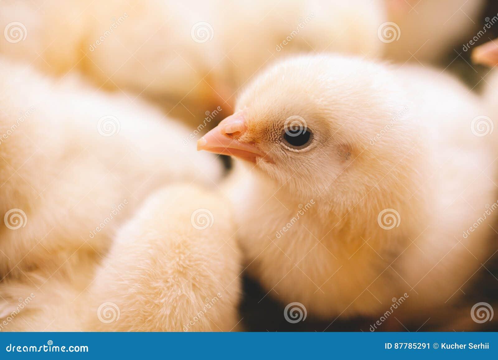 Dziecko kurczak w gospodarstwie rolnym