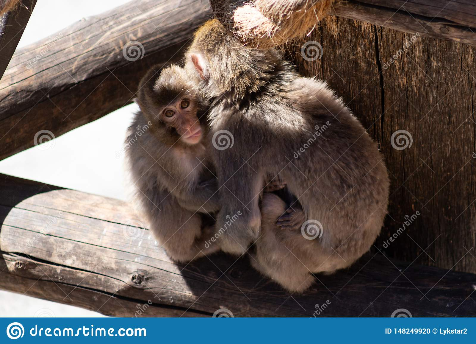 Dziecko makaka Japońskie małpy ściska matki i dokuczają jego jęzor za