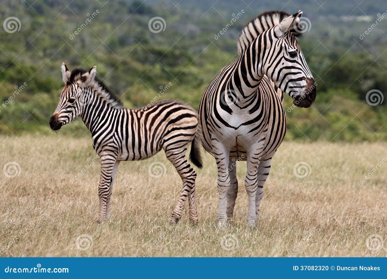 Download Dziecko matka i zebra zdjęcie stock. Obraz złożonej z safari - 37082320