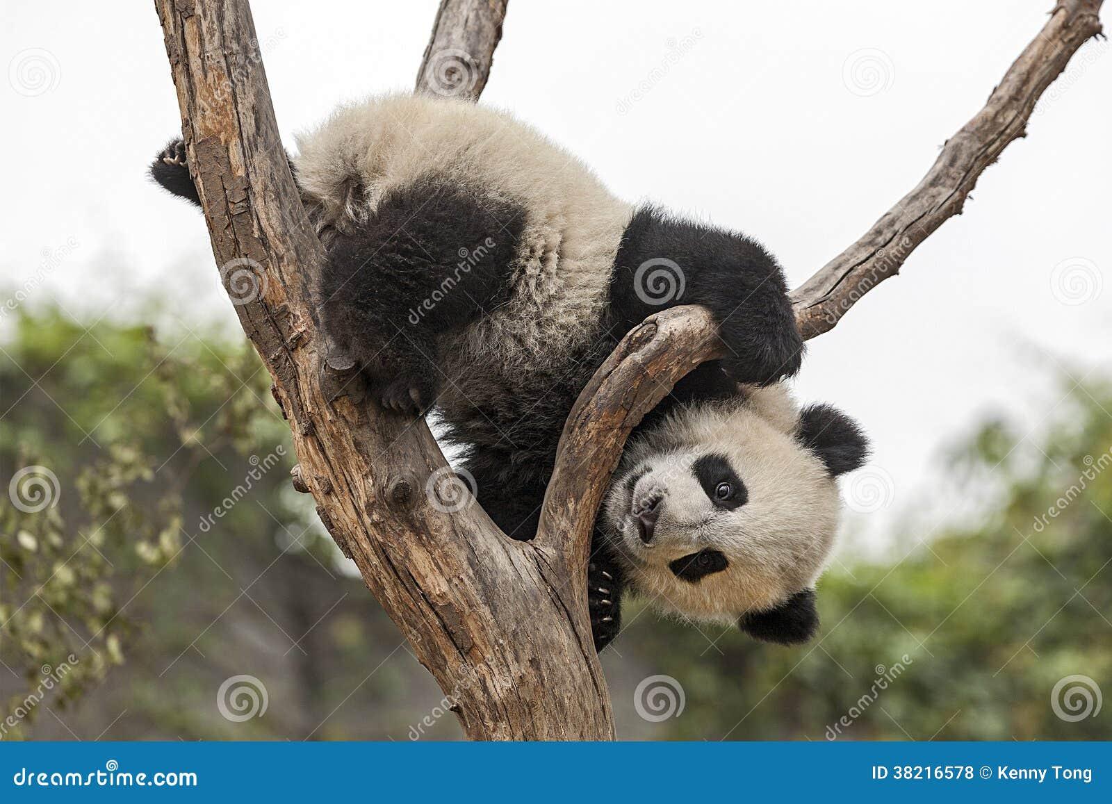 Dziecko panda