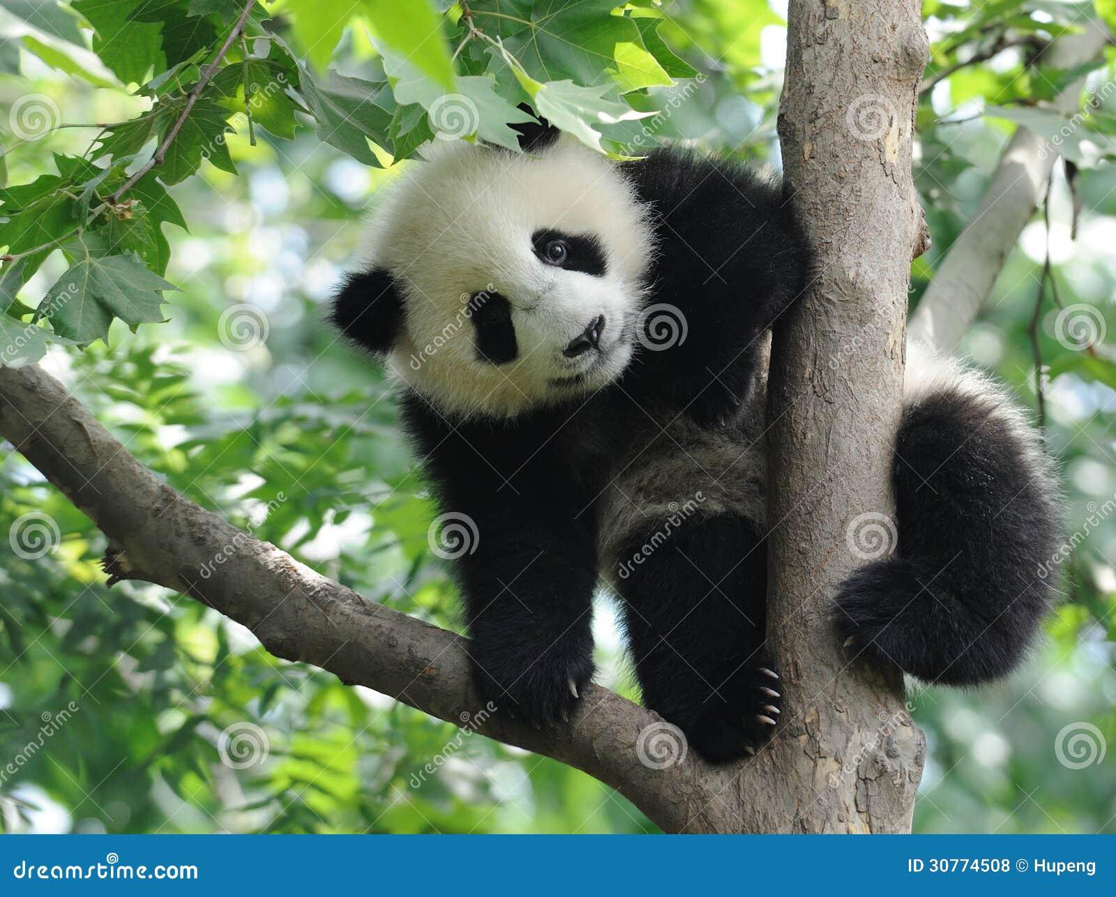 Dziecko panda na drzewie