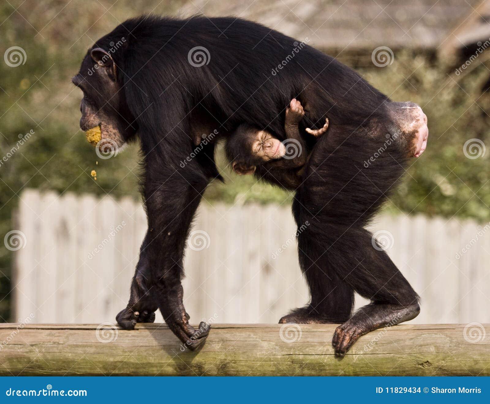Dziecko szympans