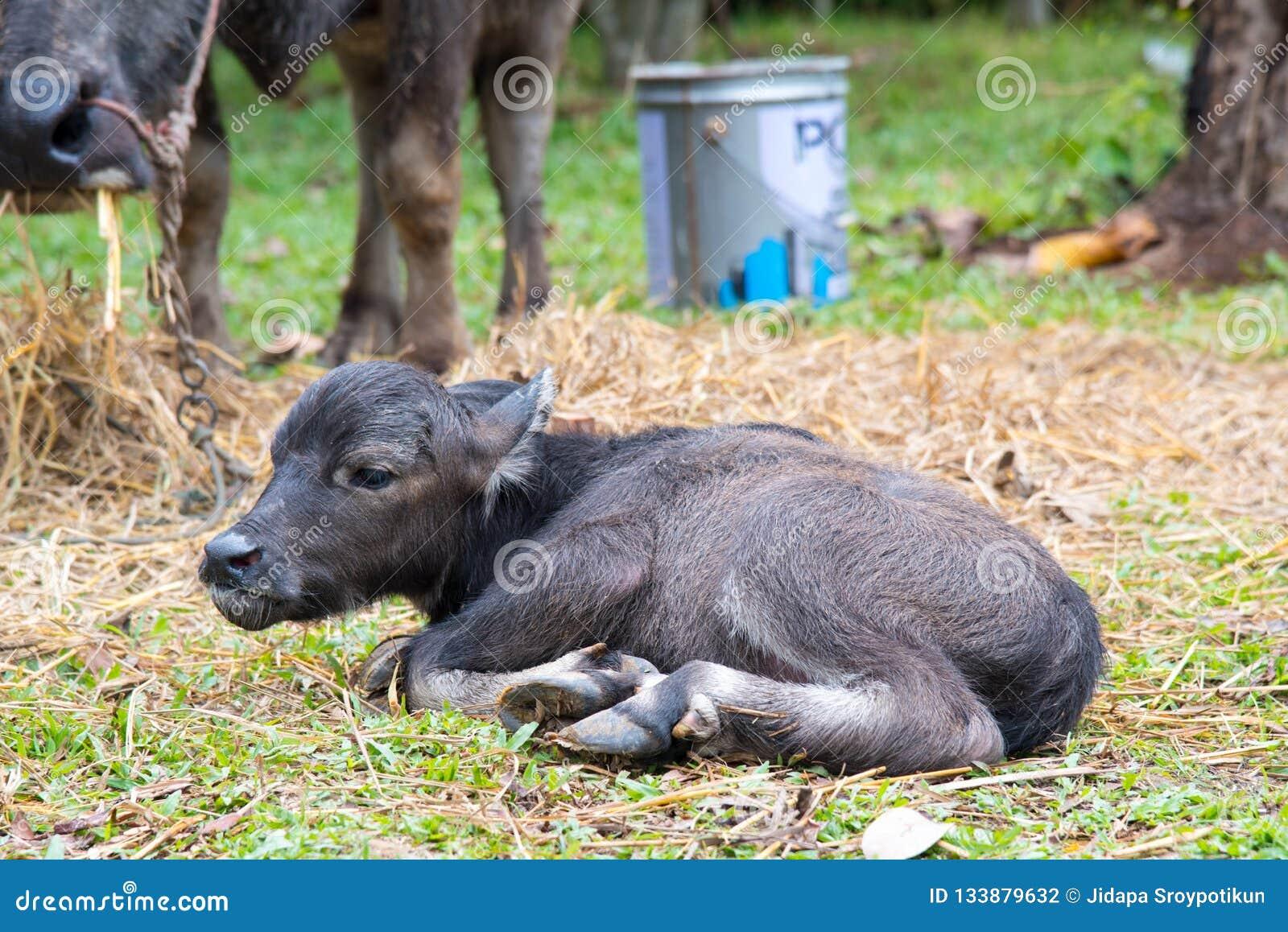 Dziecko wodnego bizonu dosypianie