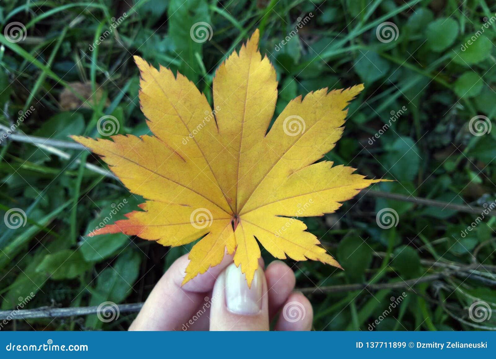 Dziewczyna trzyma liść klonowego na tle zielona trawa