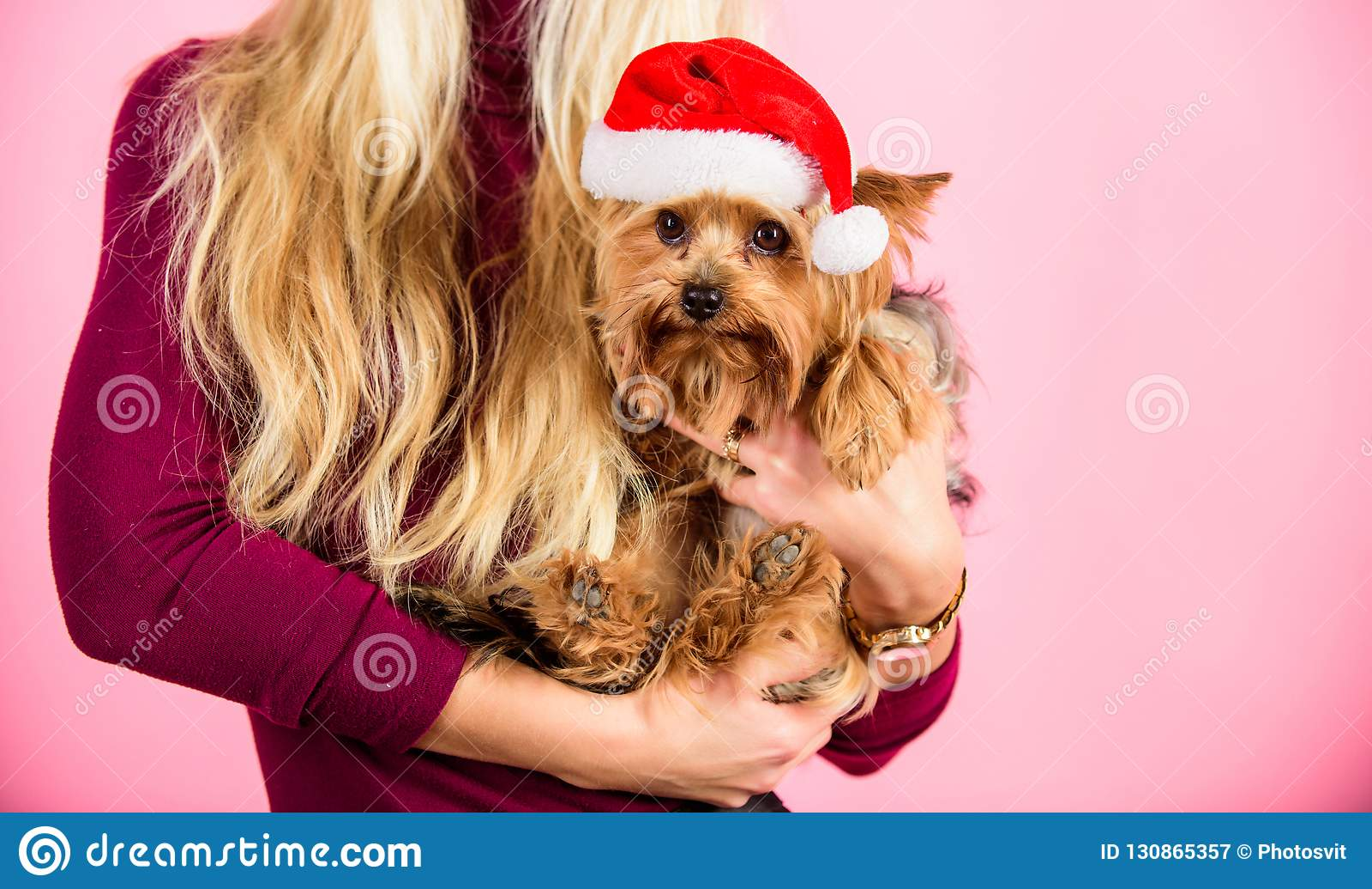 Dziewczyny blondynki chwyta psa zwierzęcia domowego menchii atrakcyjny tło Kobiety i Yorkshire teriera odzieży Santa kapelusz Świ