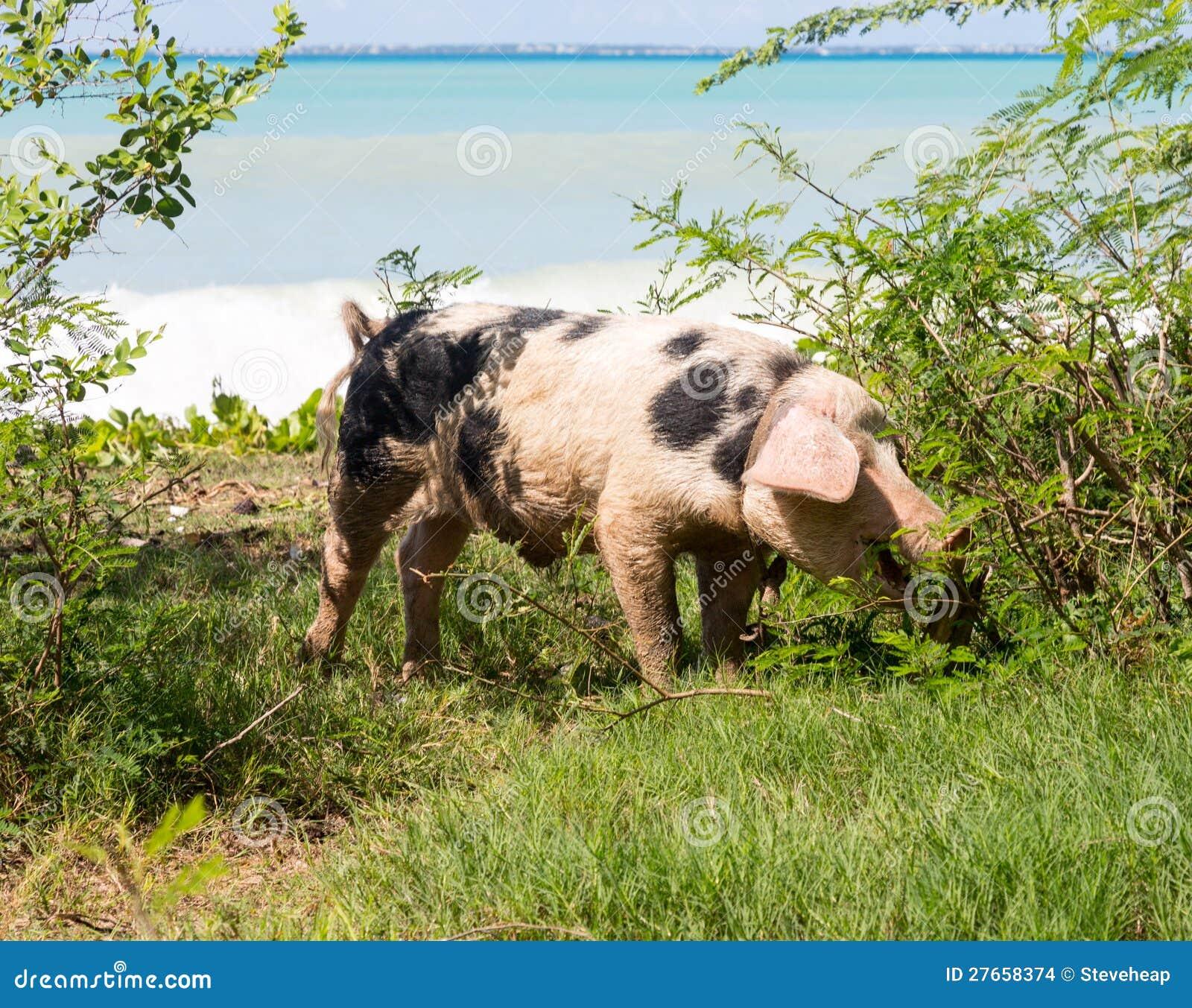 Dzika świnia na plaży w St Martin