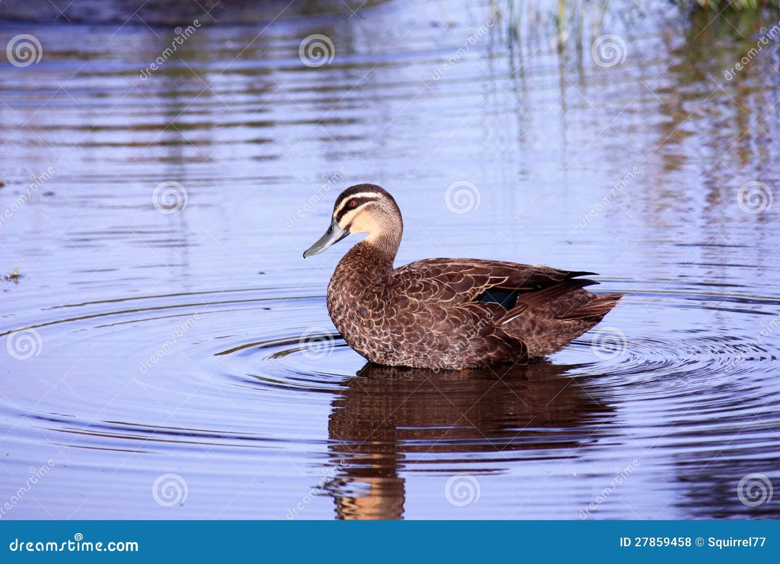 Dzika kaczka na jeziorze z odbiciem