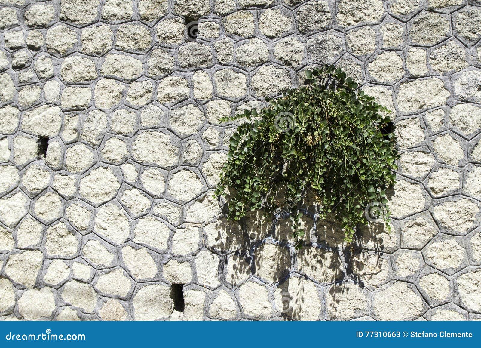 Dzika kapar roślina przeciw kamiennej ścianie