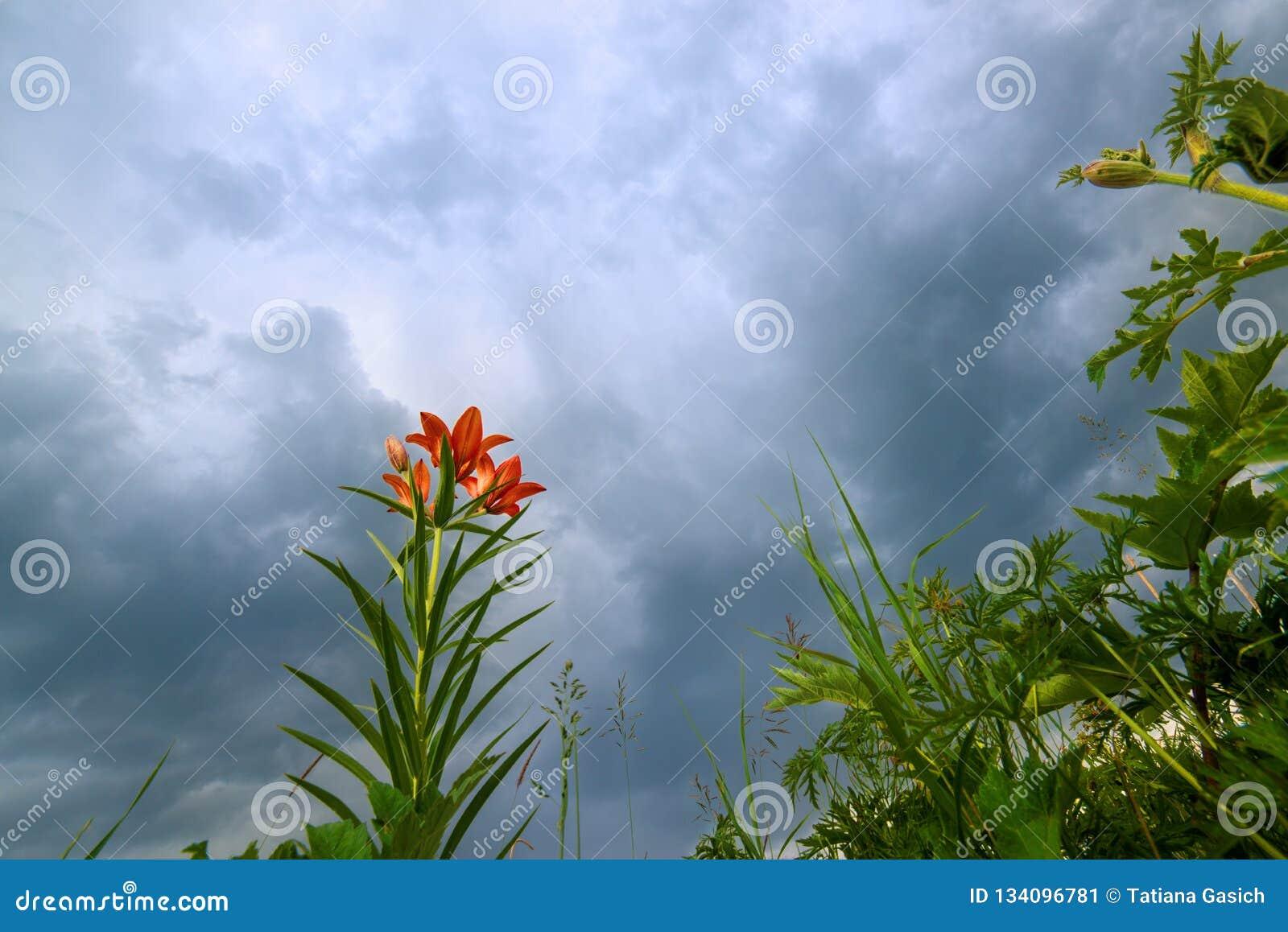 Dzika kwitnąca pomarańczowa leluja kwitnie na pięknym błękitnym grzmotu nieba tle zbliżenie