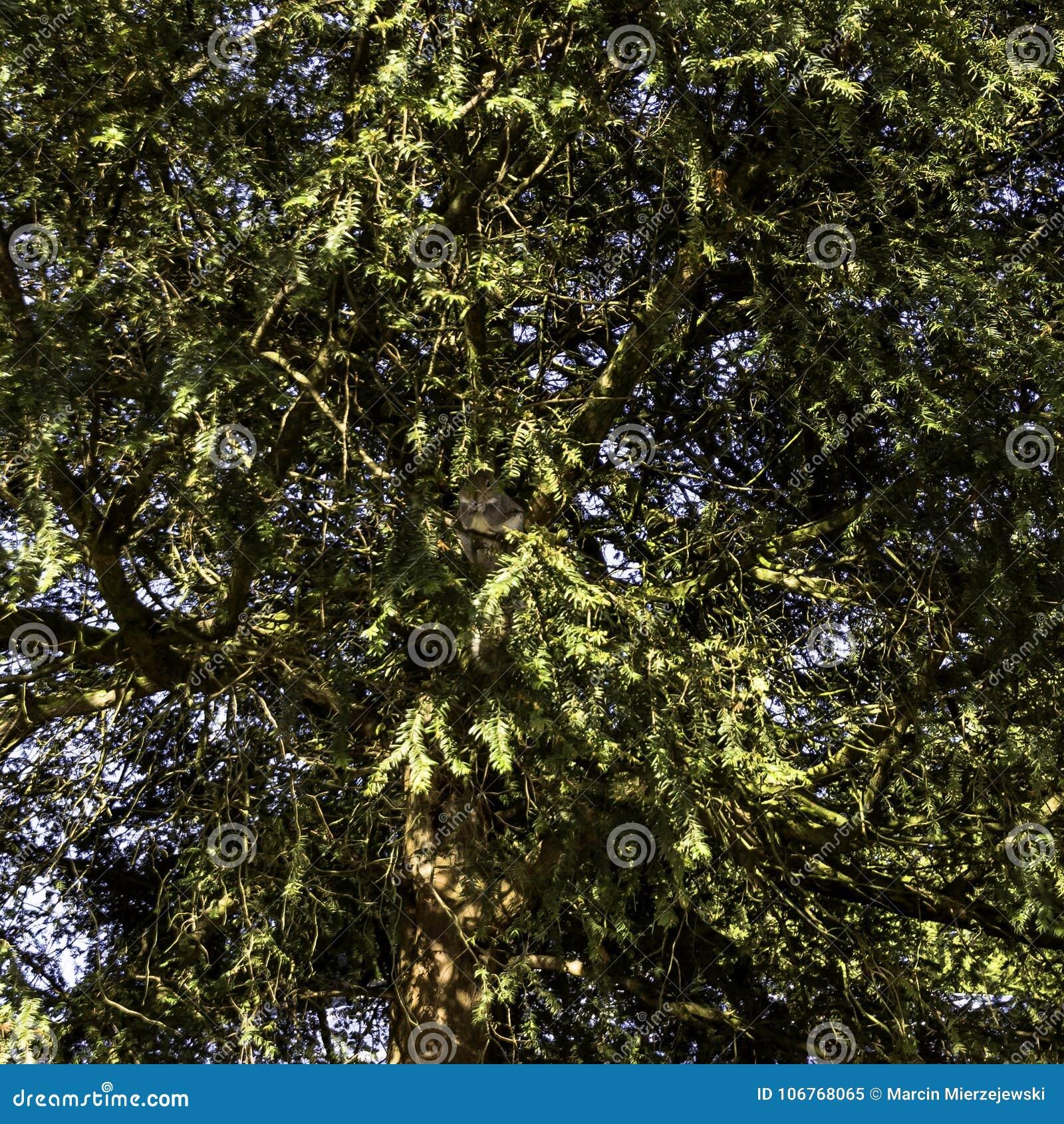 Dzika wschodnich szarość wiewiórka w zimie chuje w gałąź Pompowy pokój, Jephson ogródy -/, Królewski Leamington zdrój