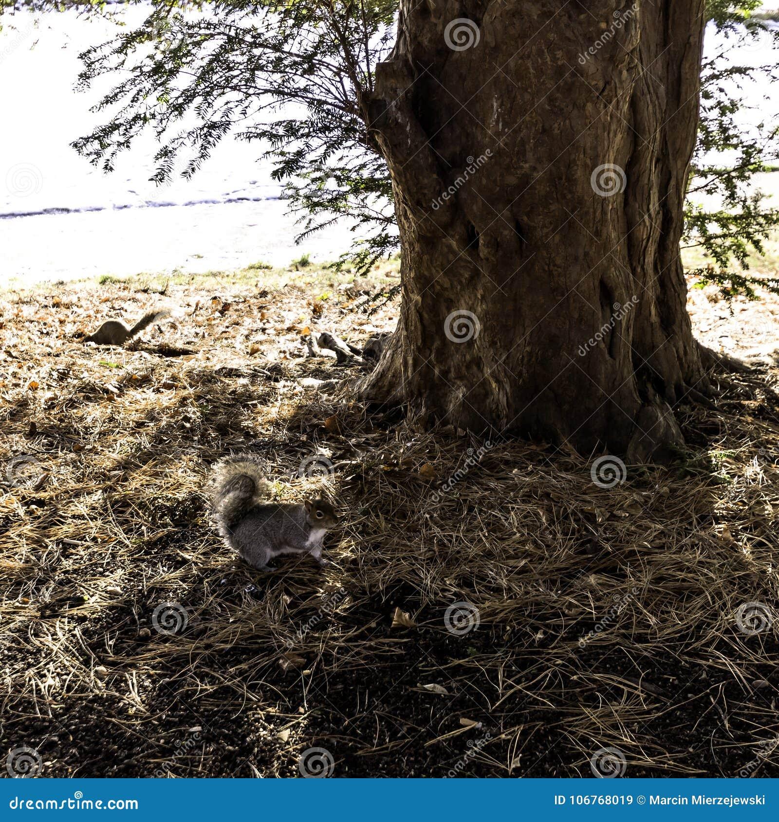 Dzika wschodnich szarość wiewiórka w zimie Pompowy pokój, Jephson ogródy -/, Królewski Leamington zdrój