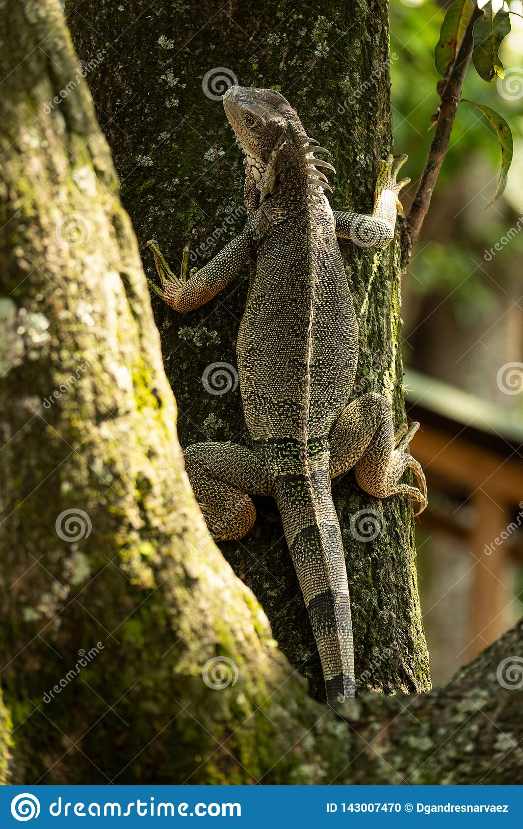 Dzika Zielona jaszczurka wspina się drzewa