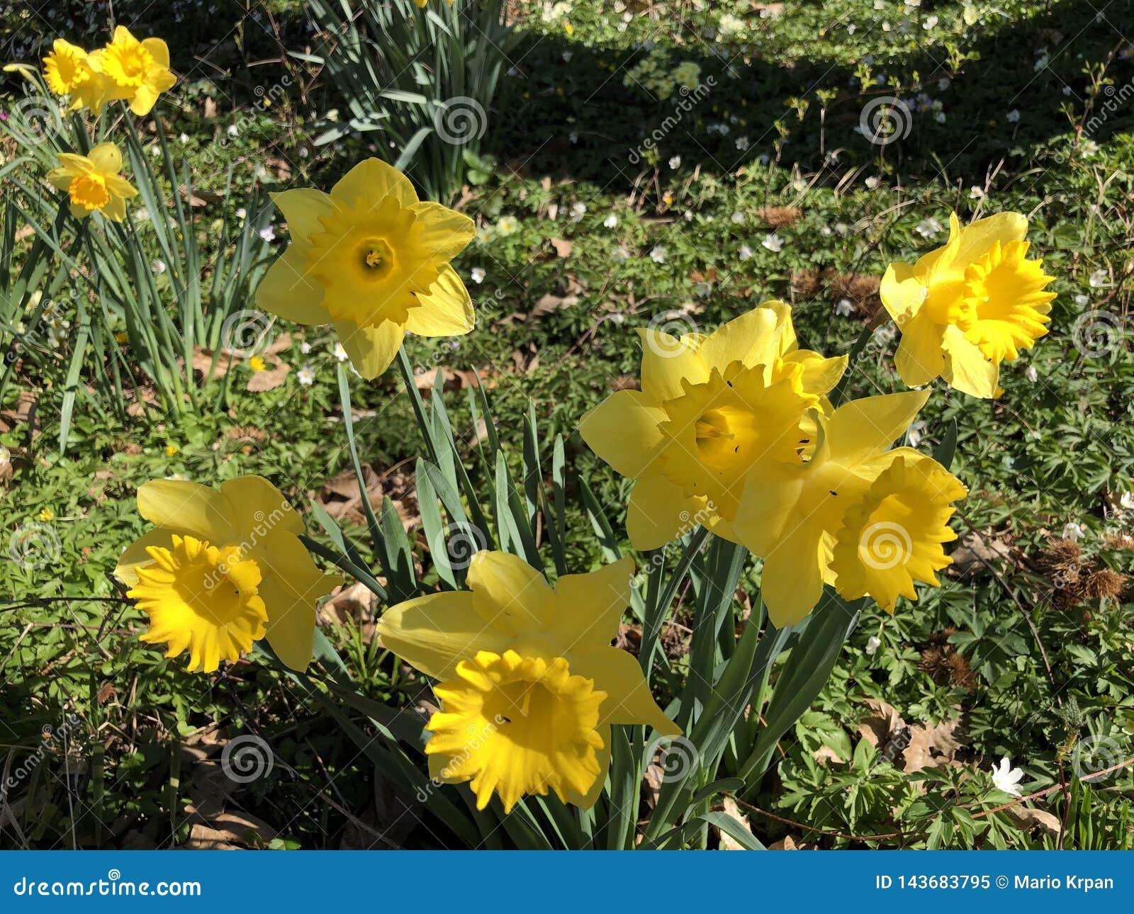 Dziki daffodil lub Pożyczający leluja narcyza pseudonarcissus, Gelbe Narzisse, Osterglocke Oder Osterglöckchen