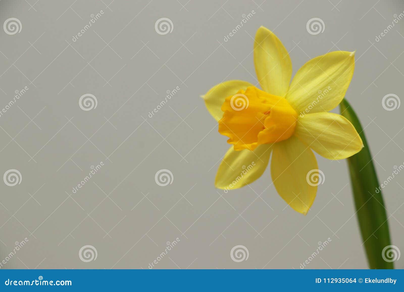 Dziki daffodil/Pożyczał leluja narcyza pseudonarcissus