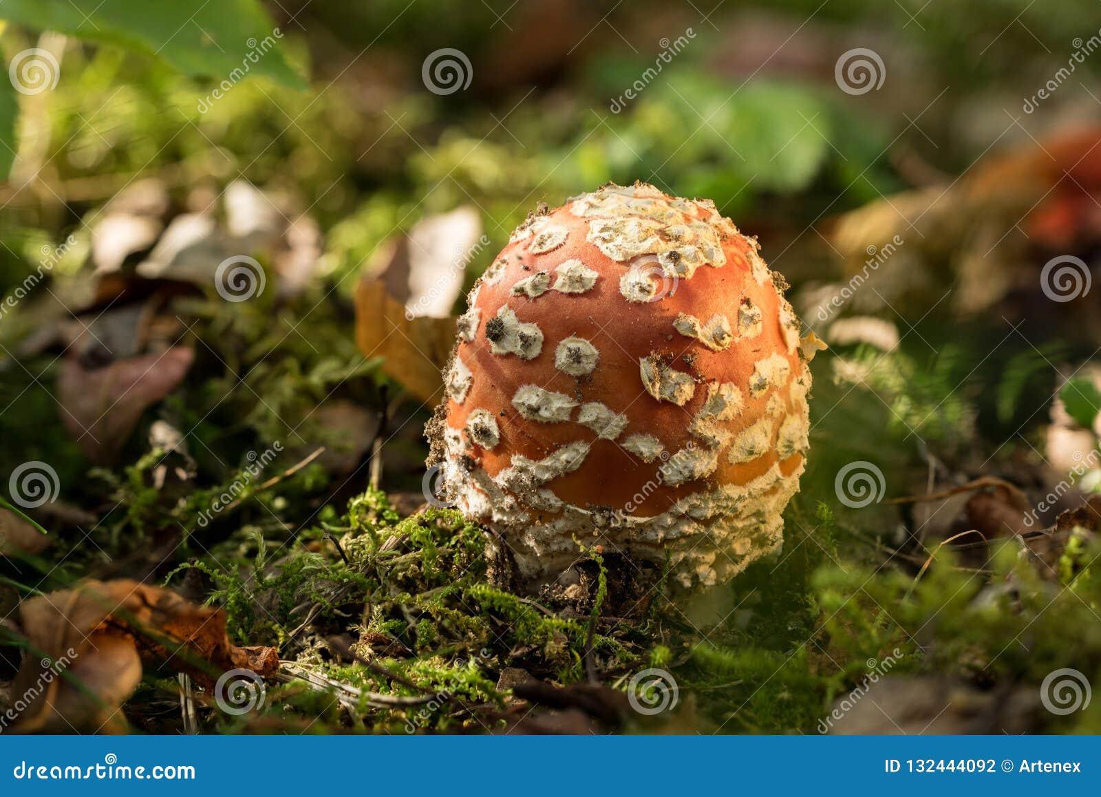 Dziki grzyb, russula Rewolucjonistki pieczarka, naturalnego środowiska tło