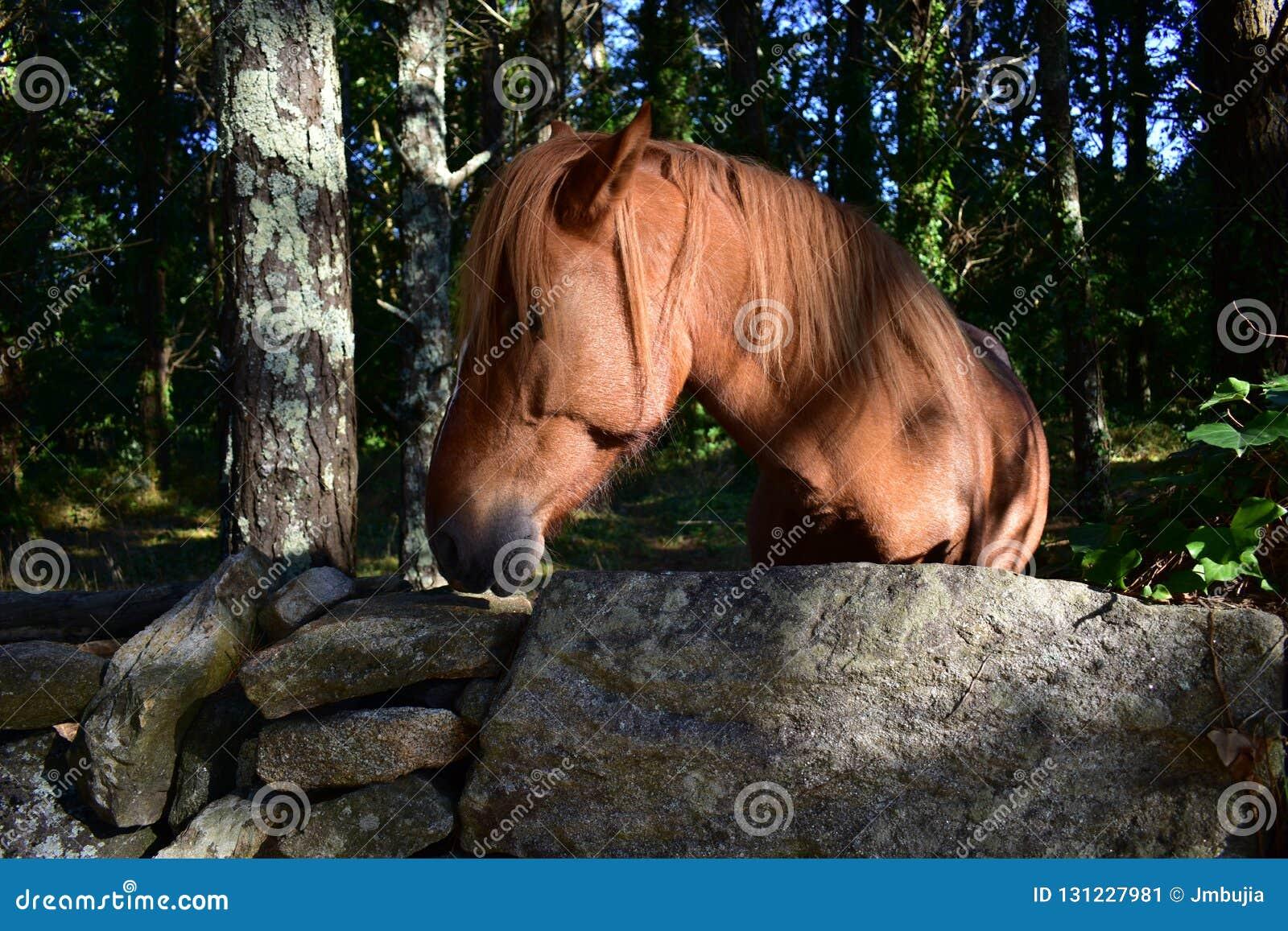 Dziki hiszpański koń w lesie za kamienną ścianą Brown koń, drzewa i krzaki, Słońca światło z cieniami Jesień, Galicia, Hiszpania