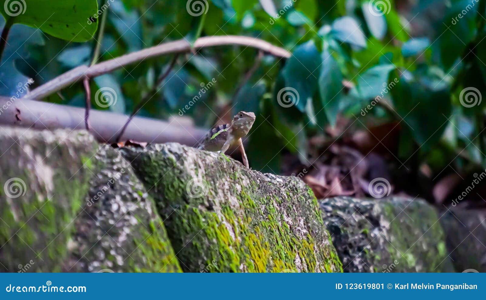 Dziki jaszczurki czekanie nad skały, tropi dla go ` s zdobycza