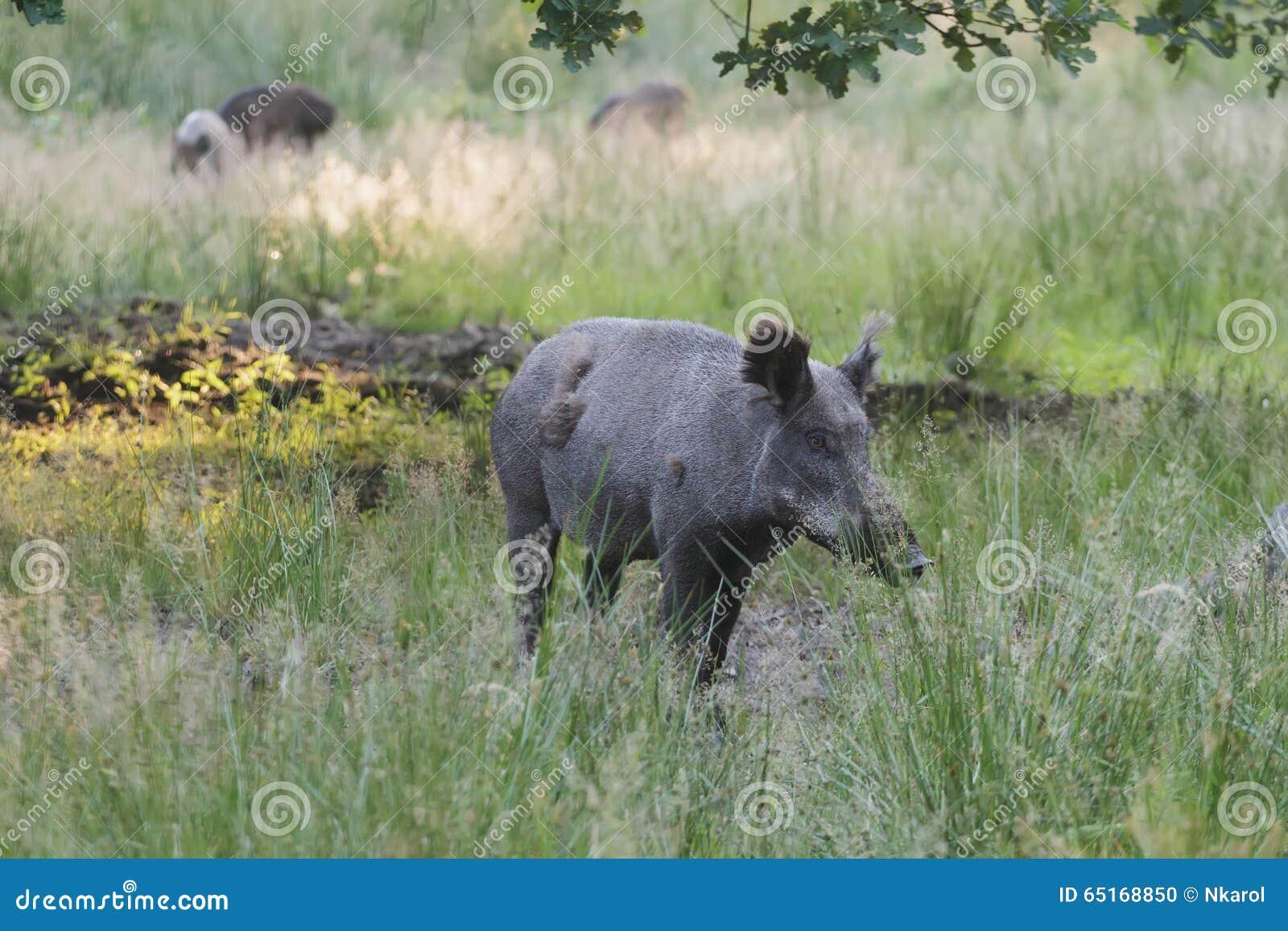 Dziki knur lub Eurazjatycka dzika świnia