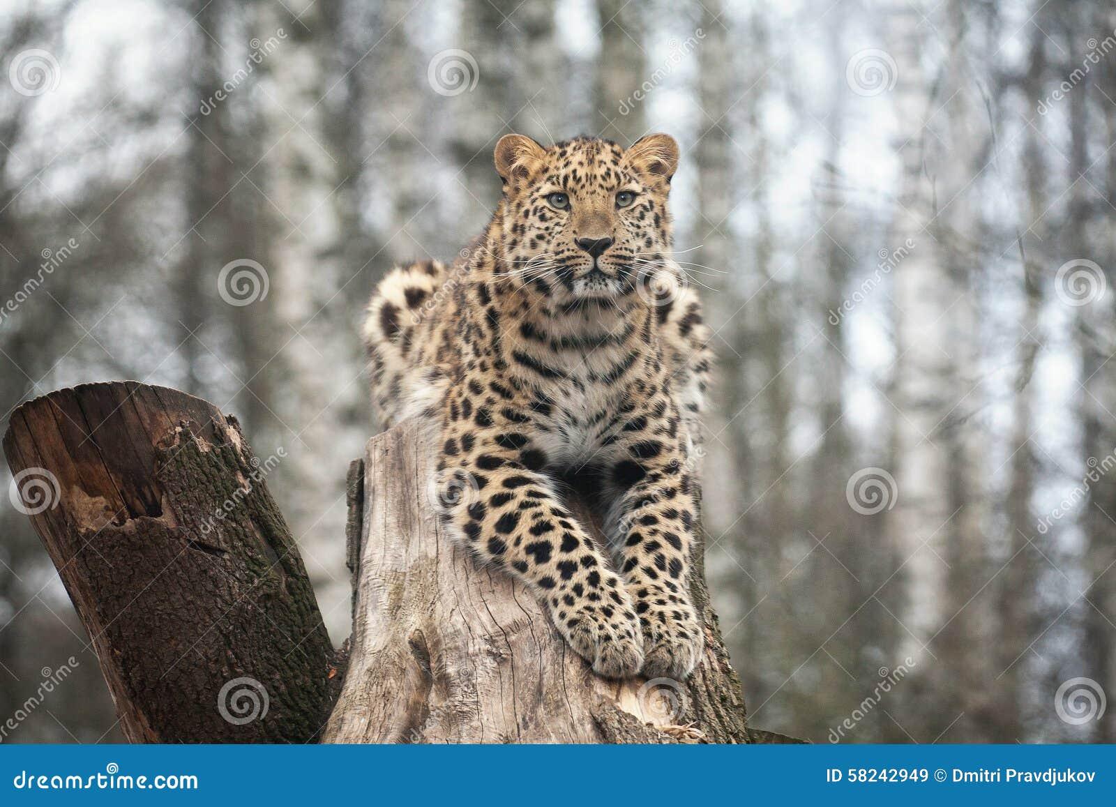 Dziki Kot Amur Lampart W Na Otwartym Powietrzu Klatce Obraz Stock