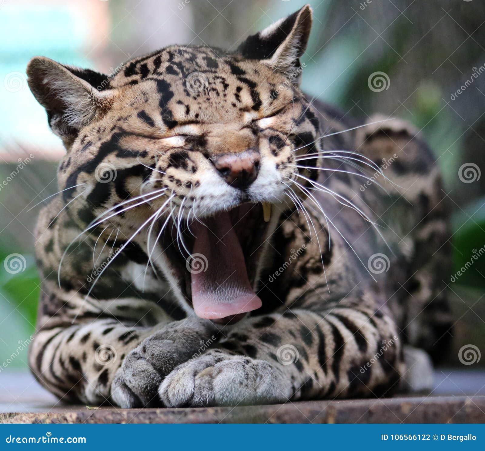 Dziki Kota Ocelot W Costa Rica Pięknym Zwierzęciu Zdjęcie Stock