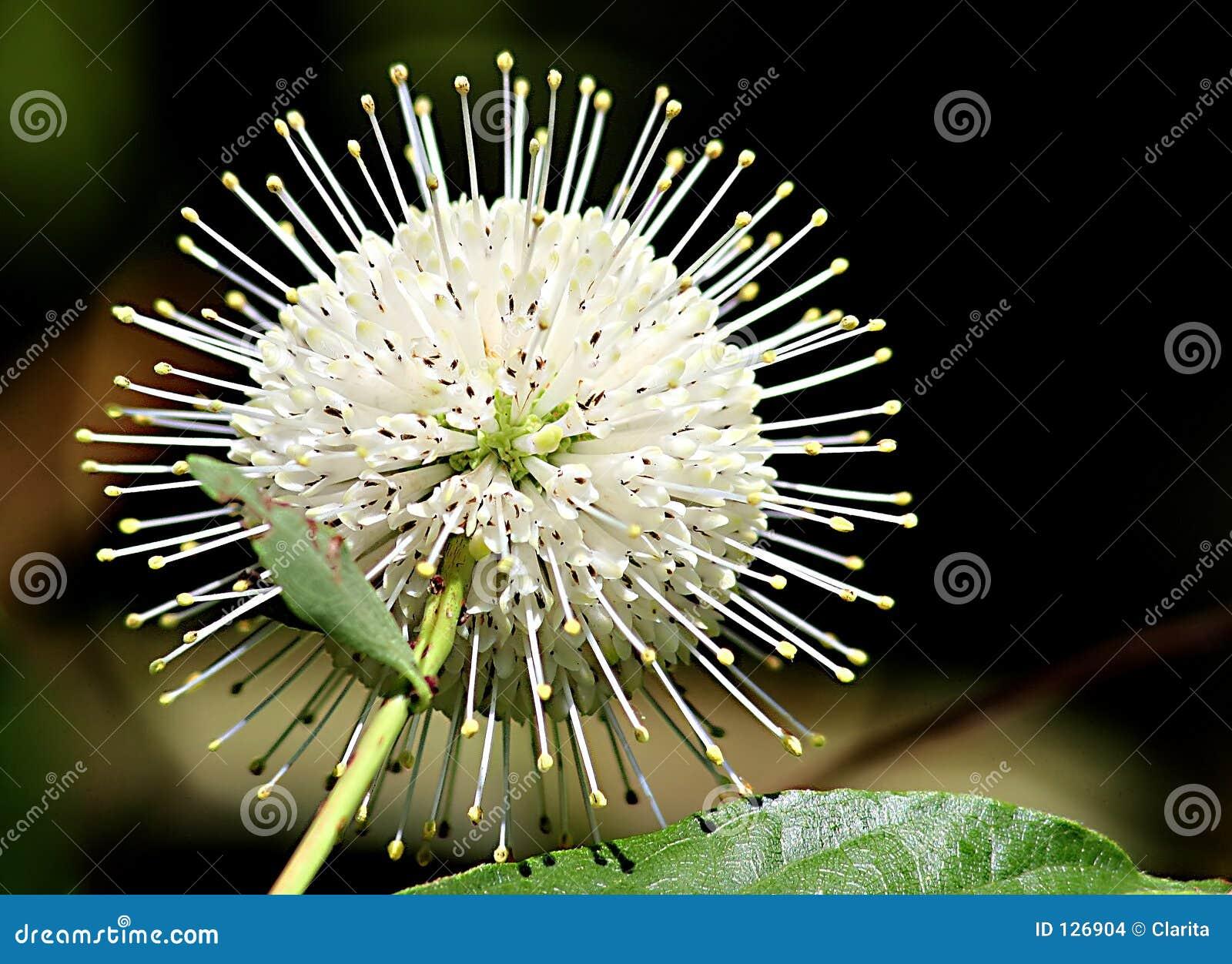 Dziki kwiat