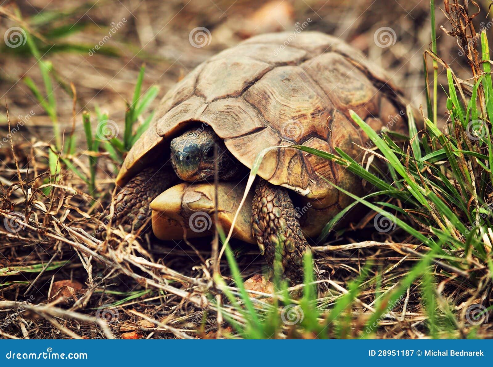 Dziki lamparta tortoise zakończenie up, Tanzania Afryka