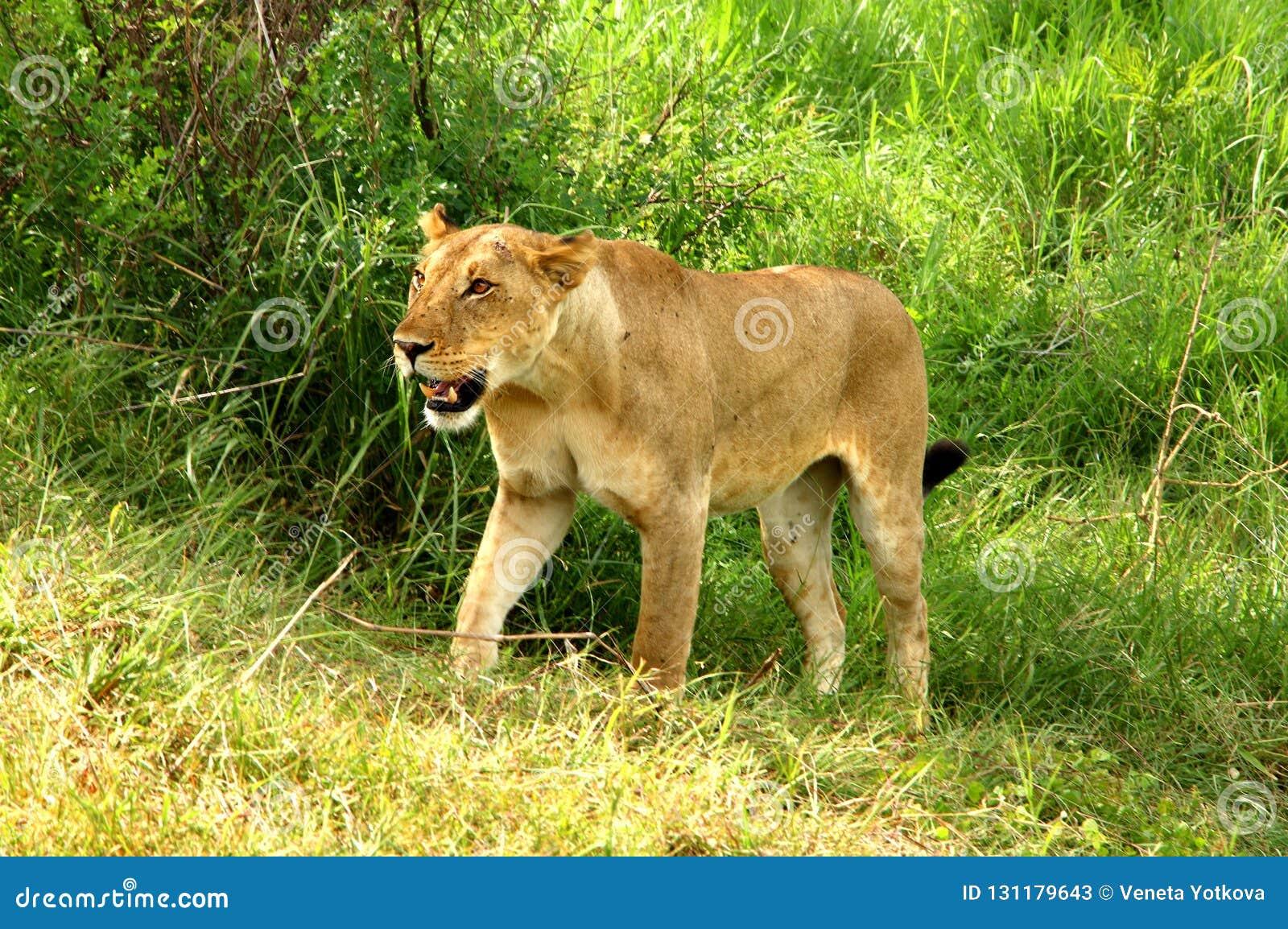 Dziki lew w Afrykańskim parku narodowym