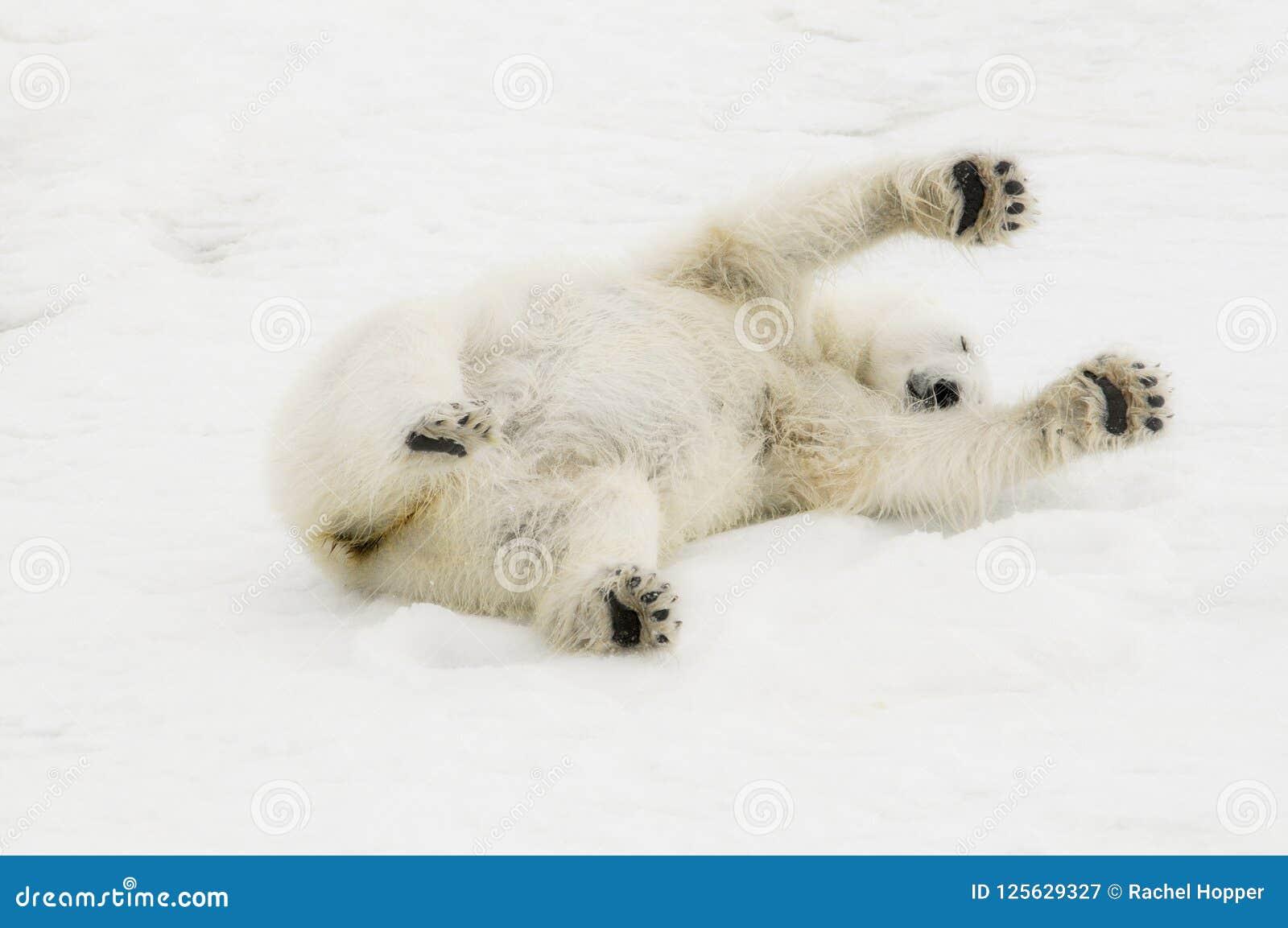Dziki niedźwiedzia polarnego Ursus maritimus na lodzie & śnieg Spitsbergen daleko