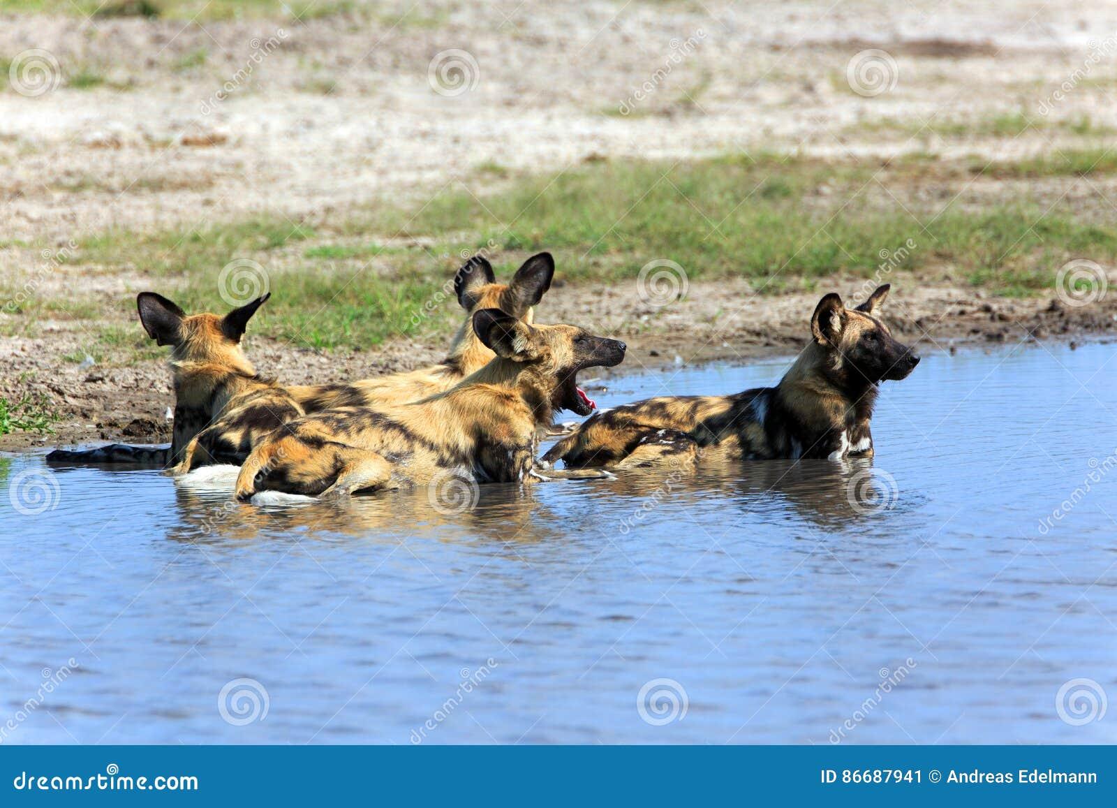 Dziki pies