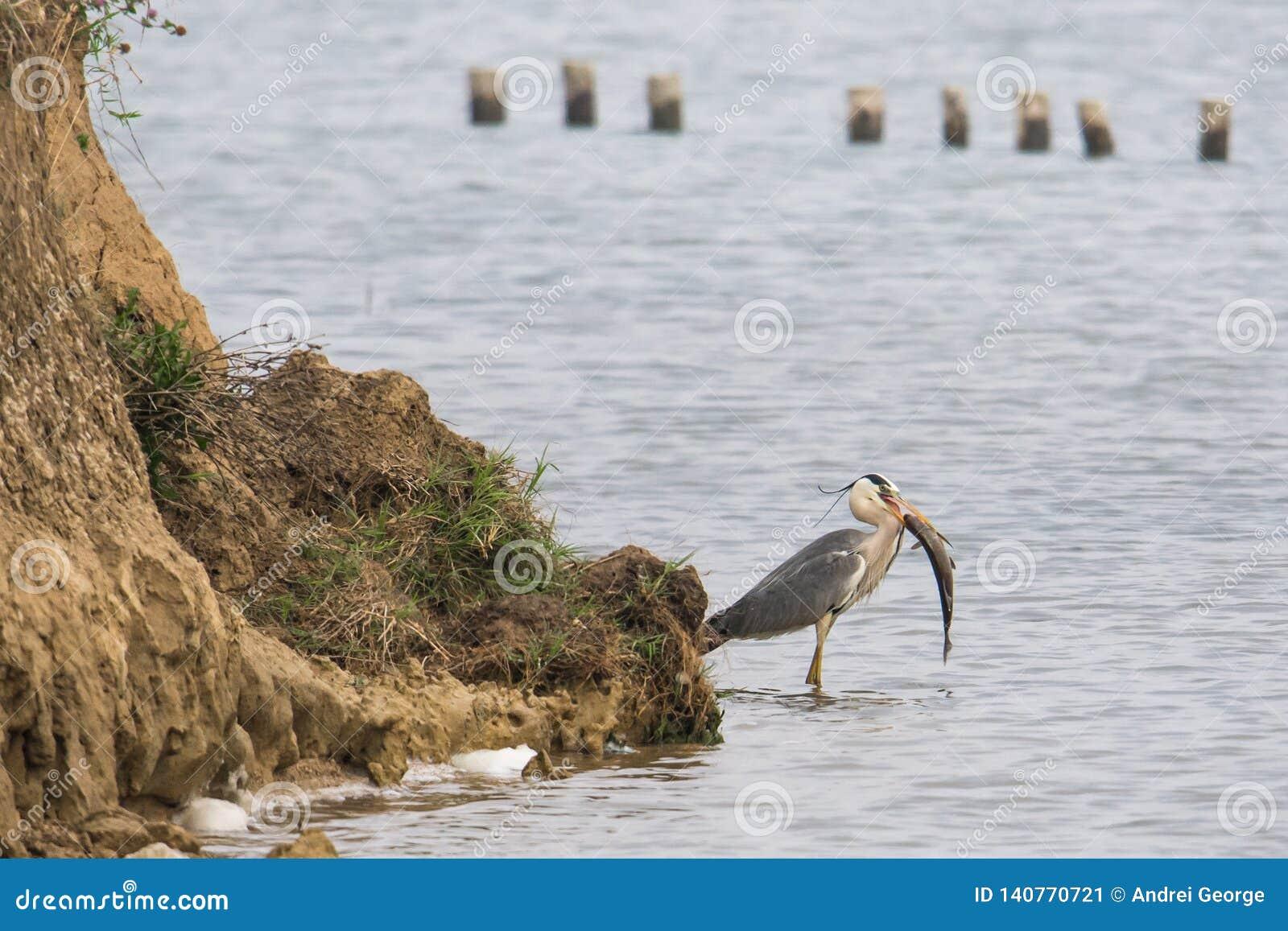 Dziki ptak: Popielata czapla z dużą rybą dla lunchu