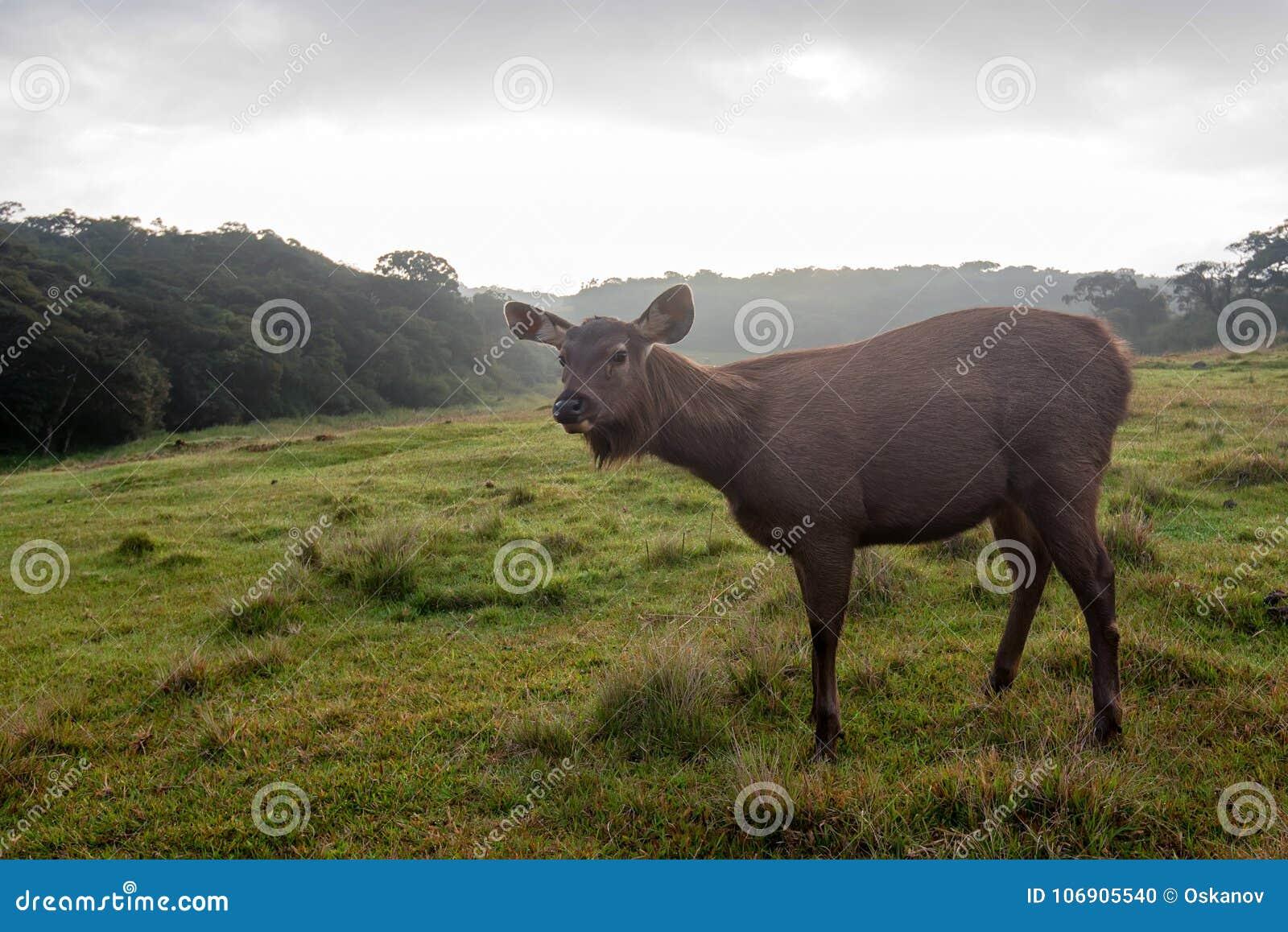Dziki sambar rogacz, Cervus unicolor lub