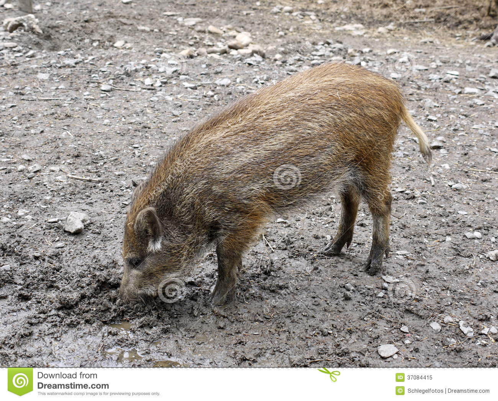 Download Dziki świniowaty Dziecko W Naturze Obraz Stock - Obraz złożonej z futerko, dziecko: 37084415