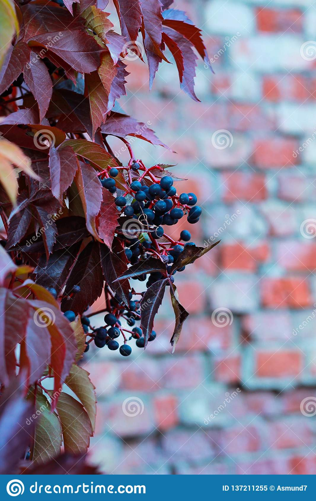 Dziki winogrono na ścianie z cegieł