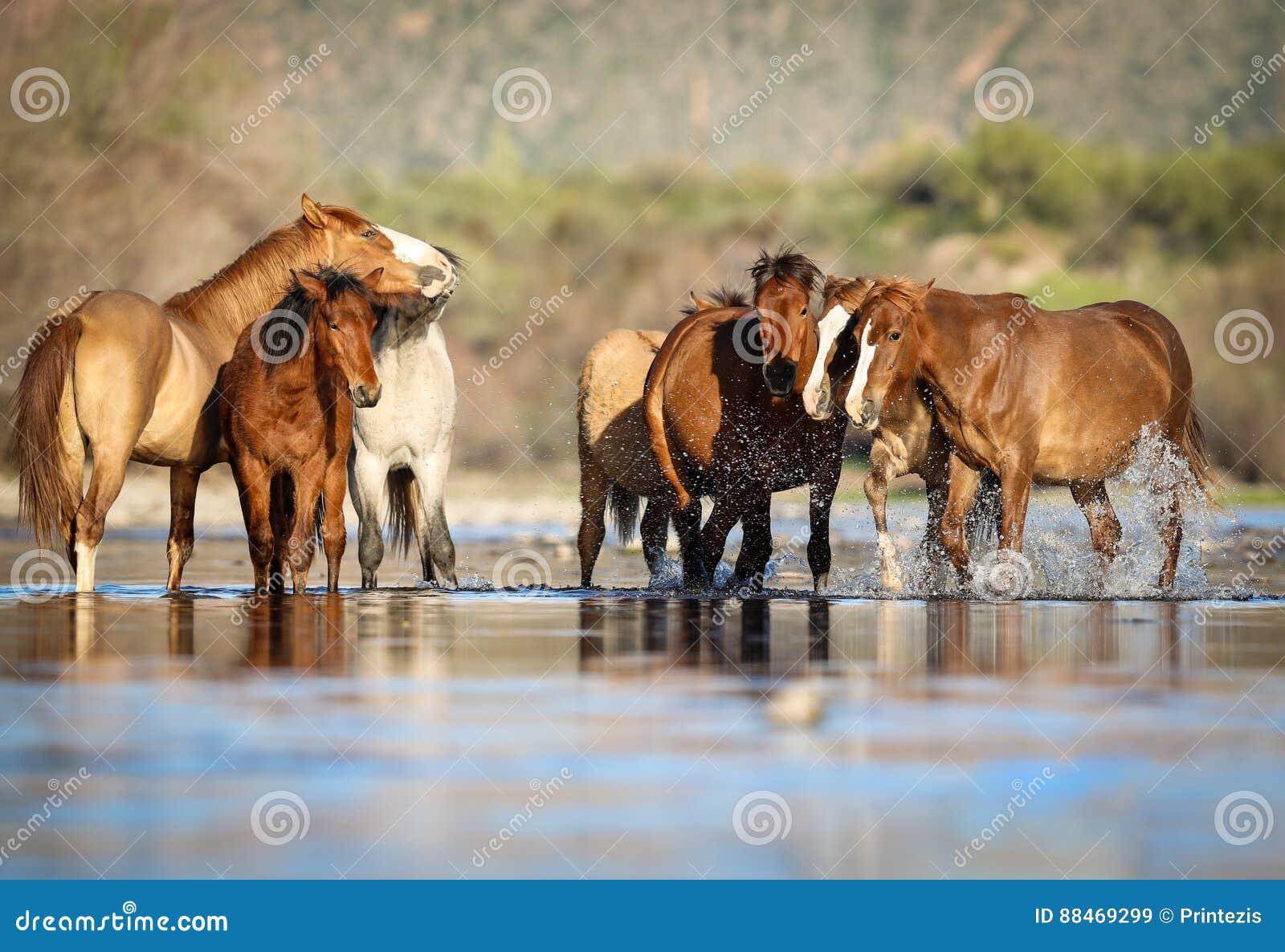 Dzikich koni mustangi w Solankowej rzece, Arizona