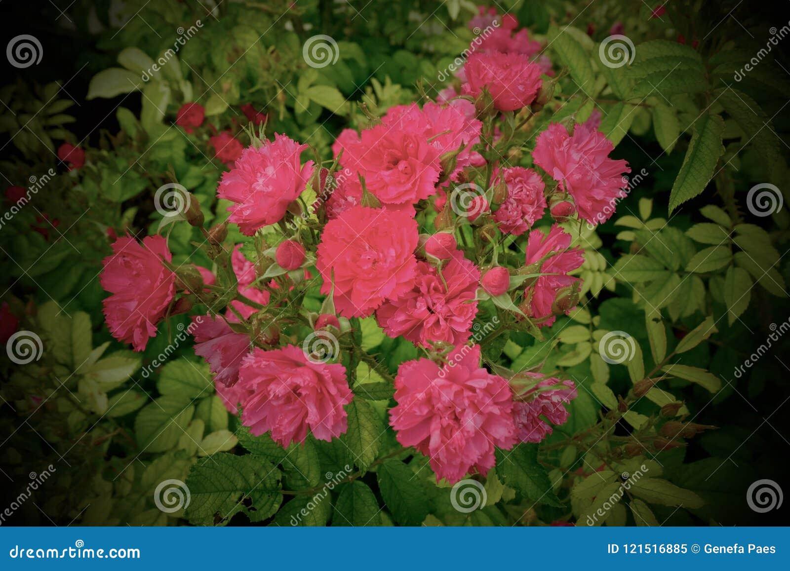 Dzikich menchii róże - Paryż, Francja