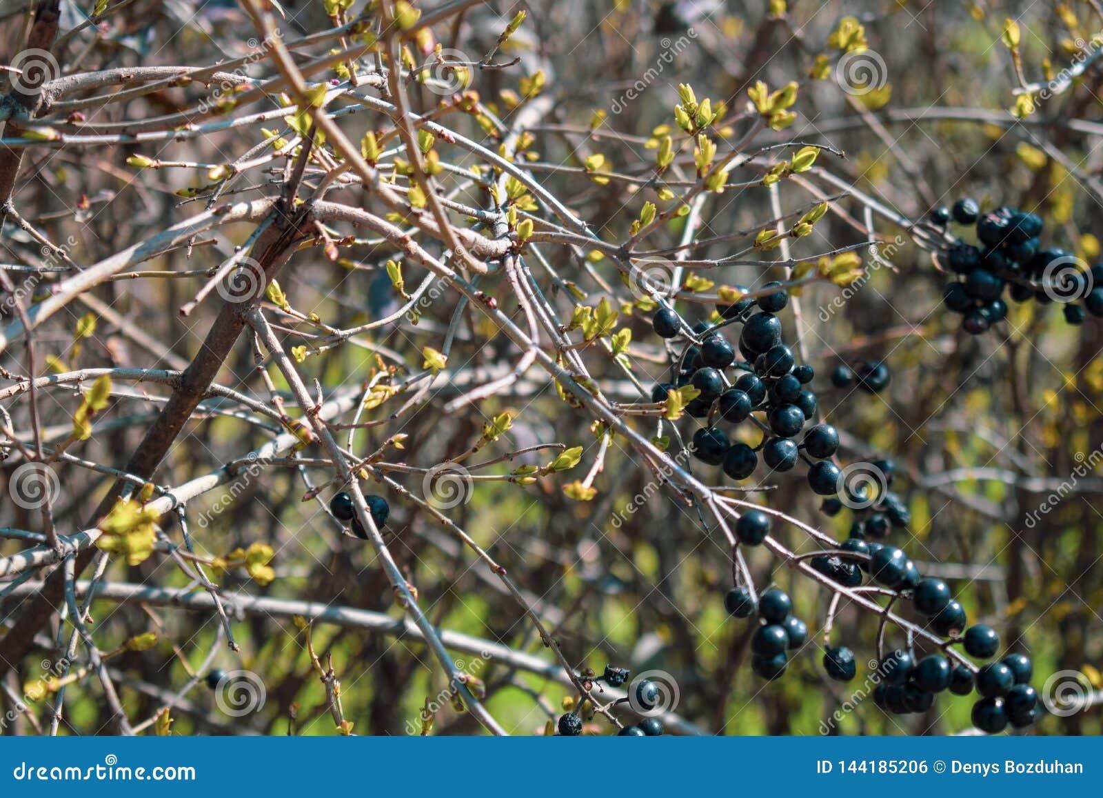 Dzikie czarne jagody na dekoracyjnym krzaku