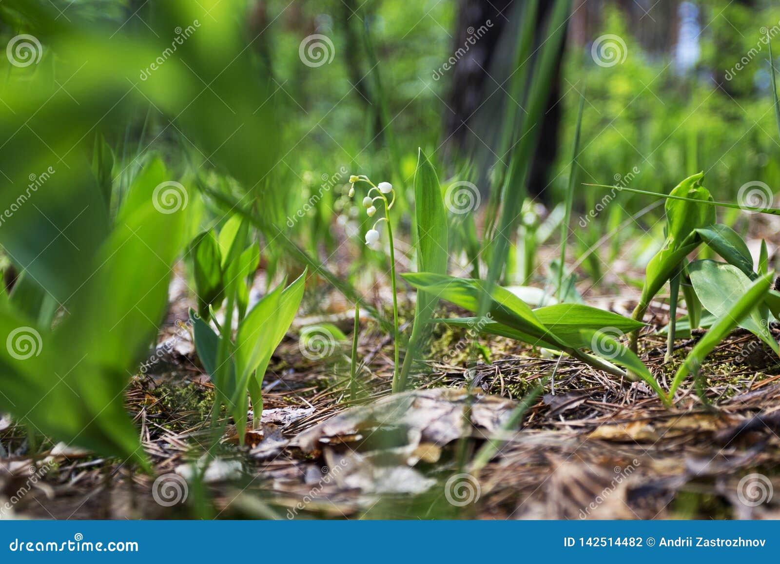 Dzikie leluje w lesie