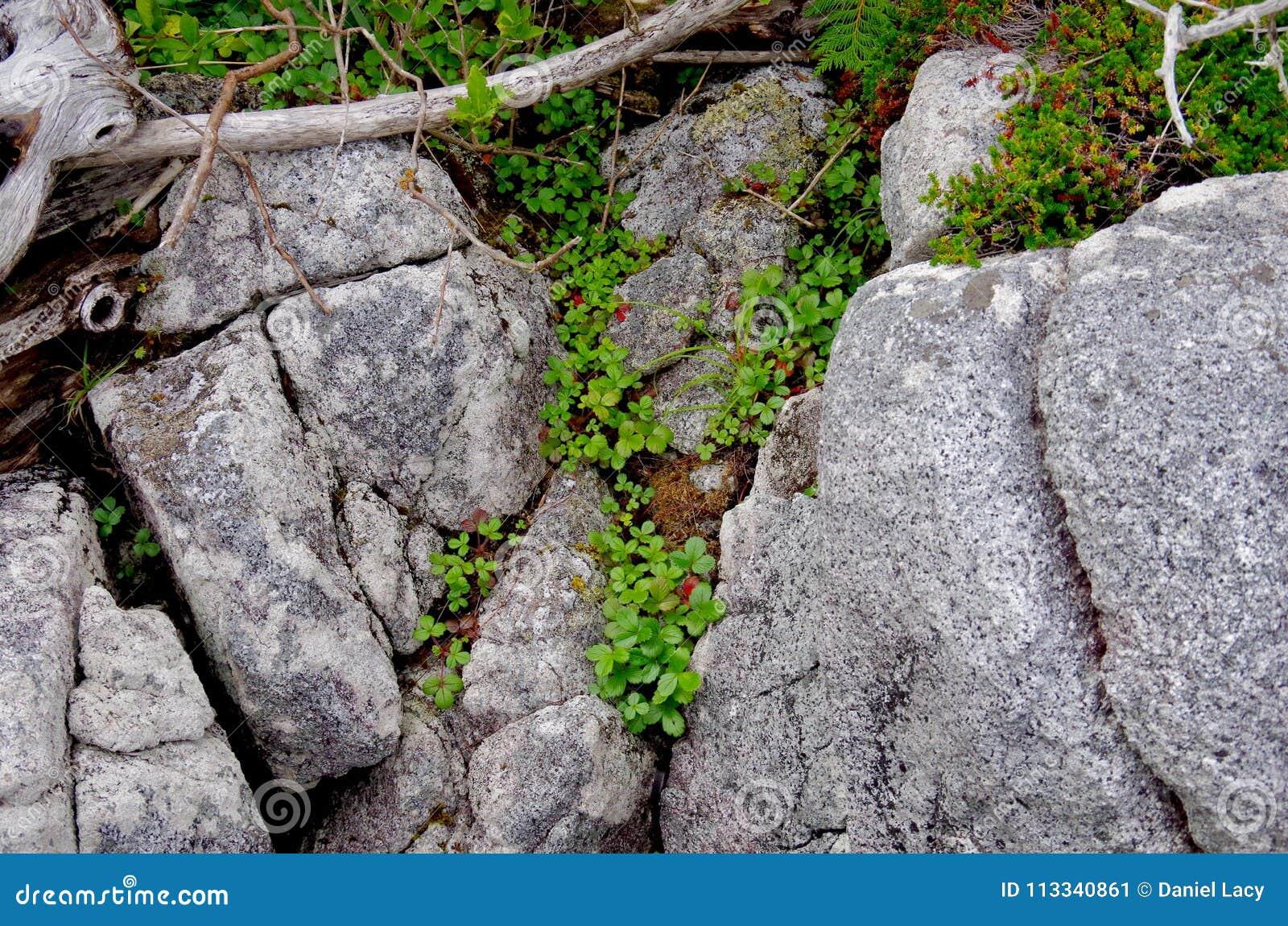 Dzikie truskawki i inne flory r w crevices skały