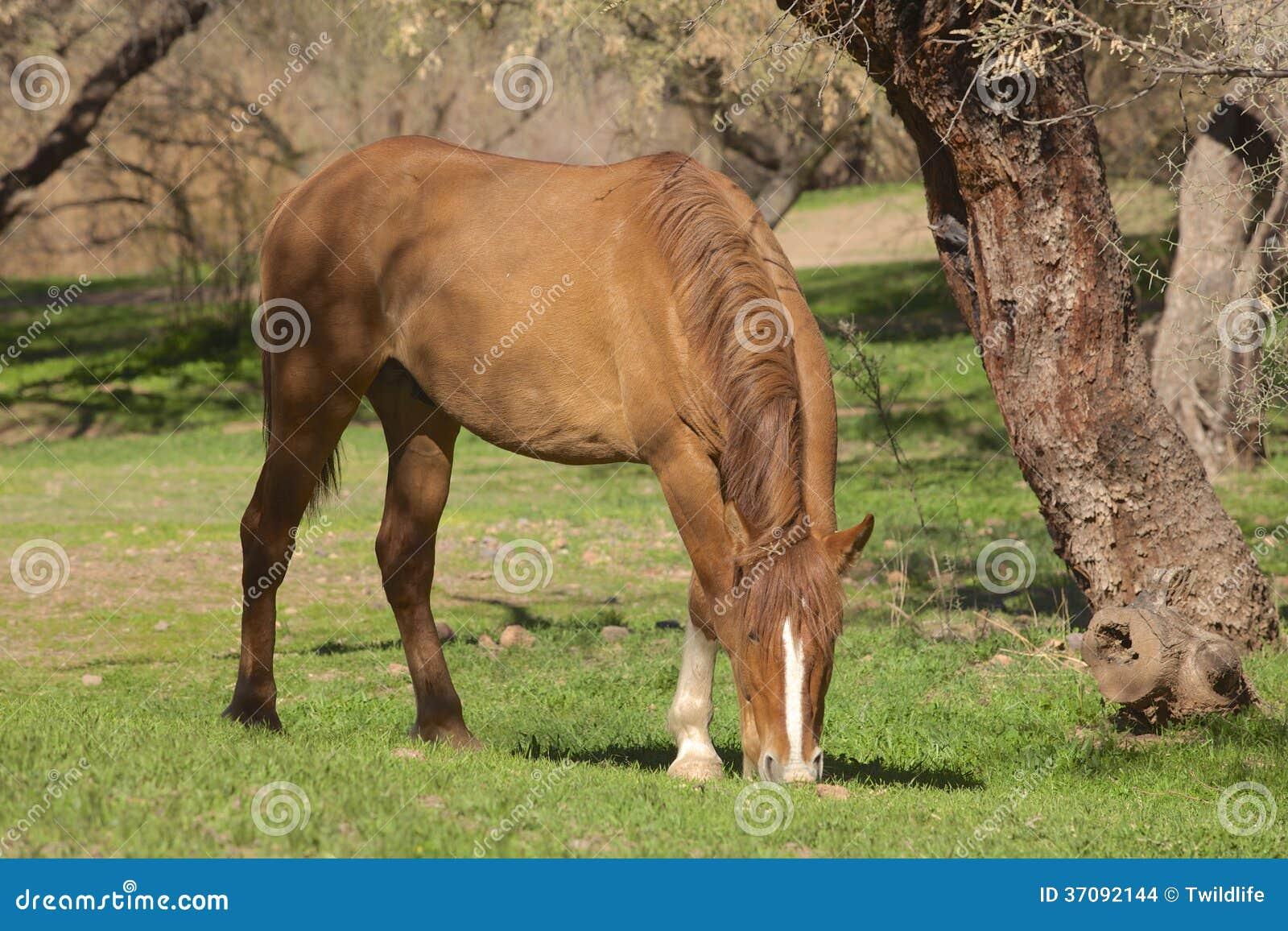Download Dzikiego konia pasanie zdjęcie stock. Obraz złożonej z southwest - 37092144
