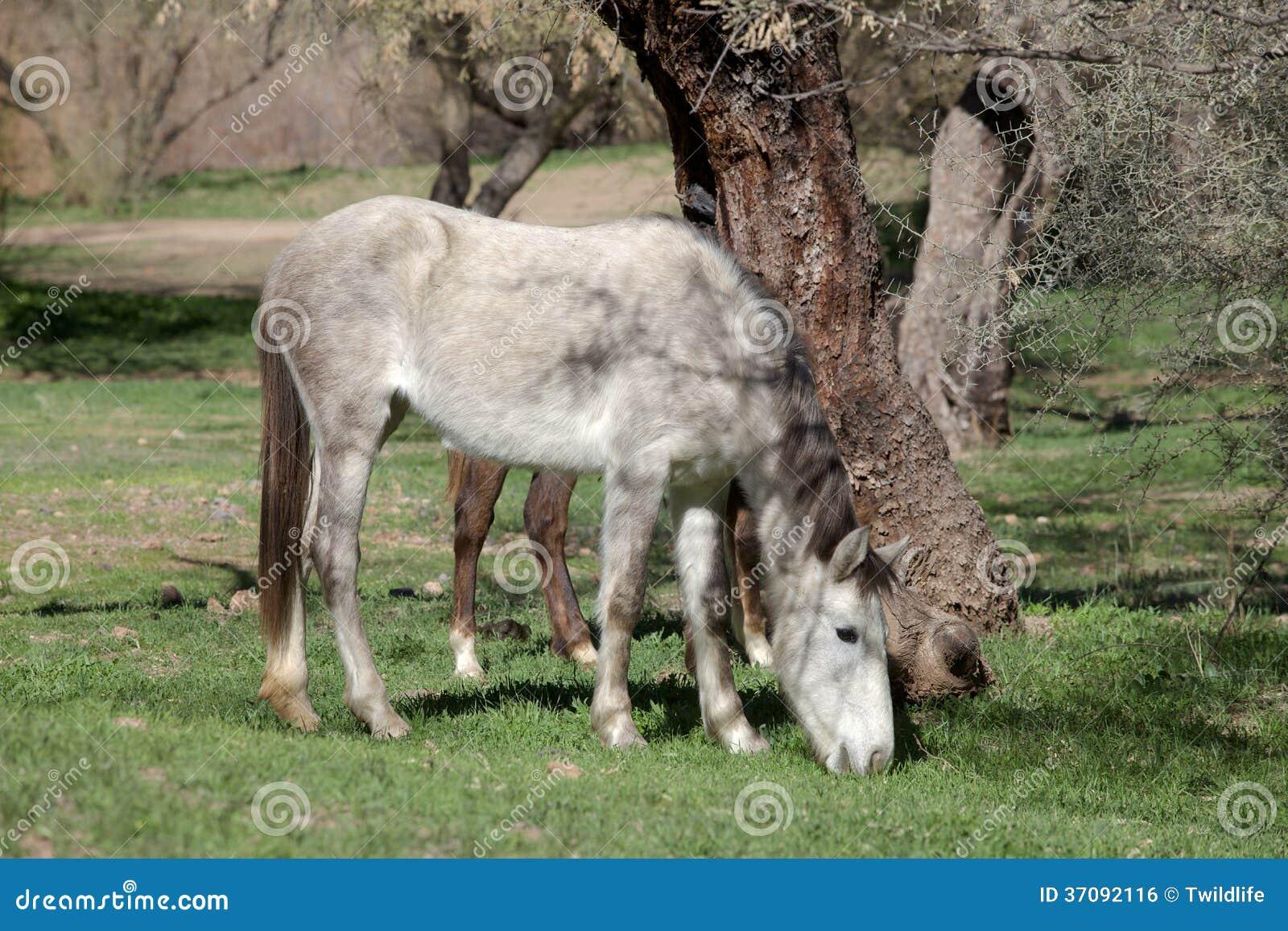 Download Dzikiego Konia Pasanie W Arizona Zdjęcie Stock - Obraz złożonej z natura, koń: 37092116